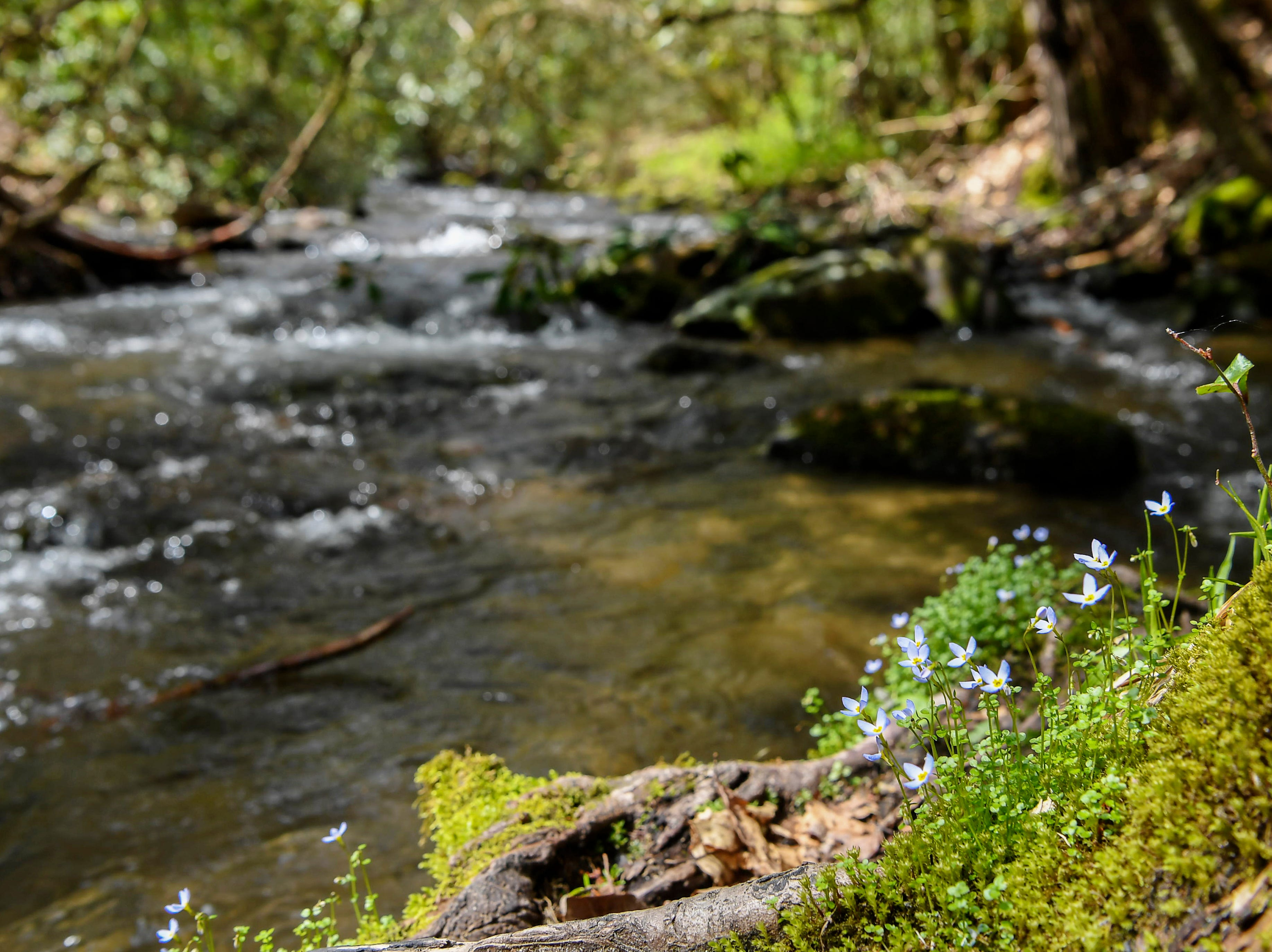 Wildflowers bloom next to a river along the trail to Mingus Mill in Great Smoky Mountains National Park April 11, 2019.