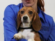 The Michigan Humane Society has opened applications for the rescued beagles.