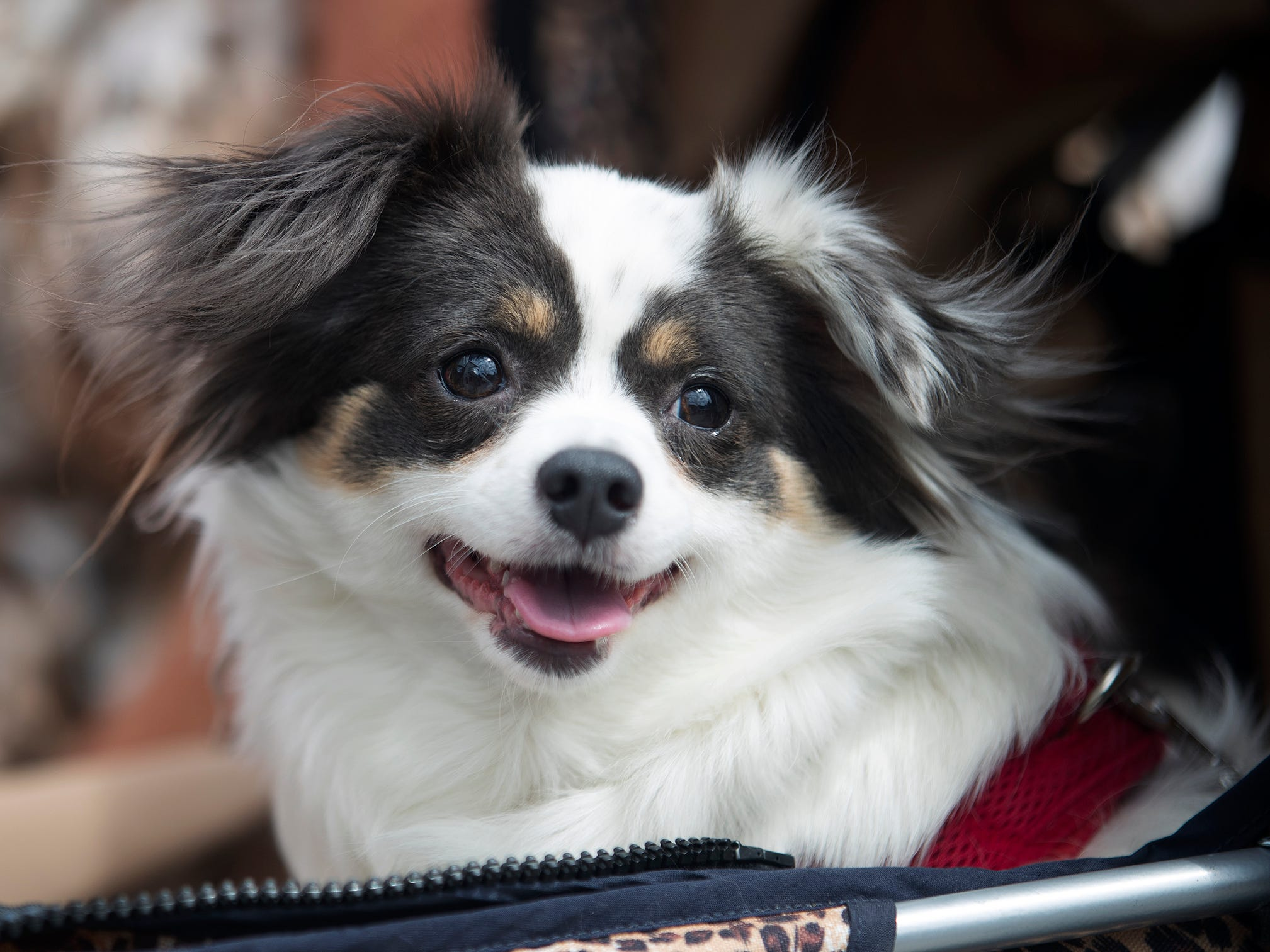 More than 50 dogs and their owners attend the Deputy Dogs event on Saturday at the Bell Tower Shops in south Fort Myers. The Lee County Sheriff's Office encouraged residents to be an extra set of eyes for LCSO while walking their dogs.