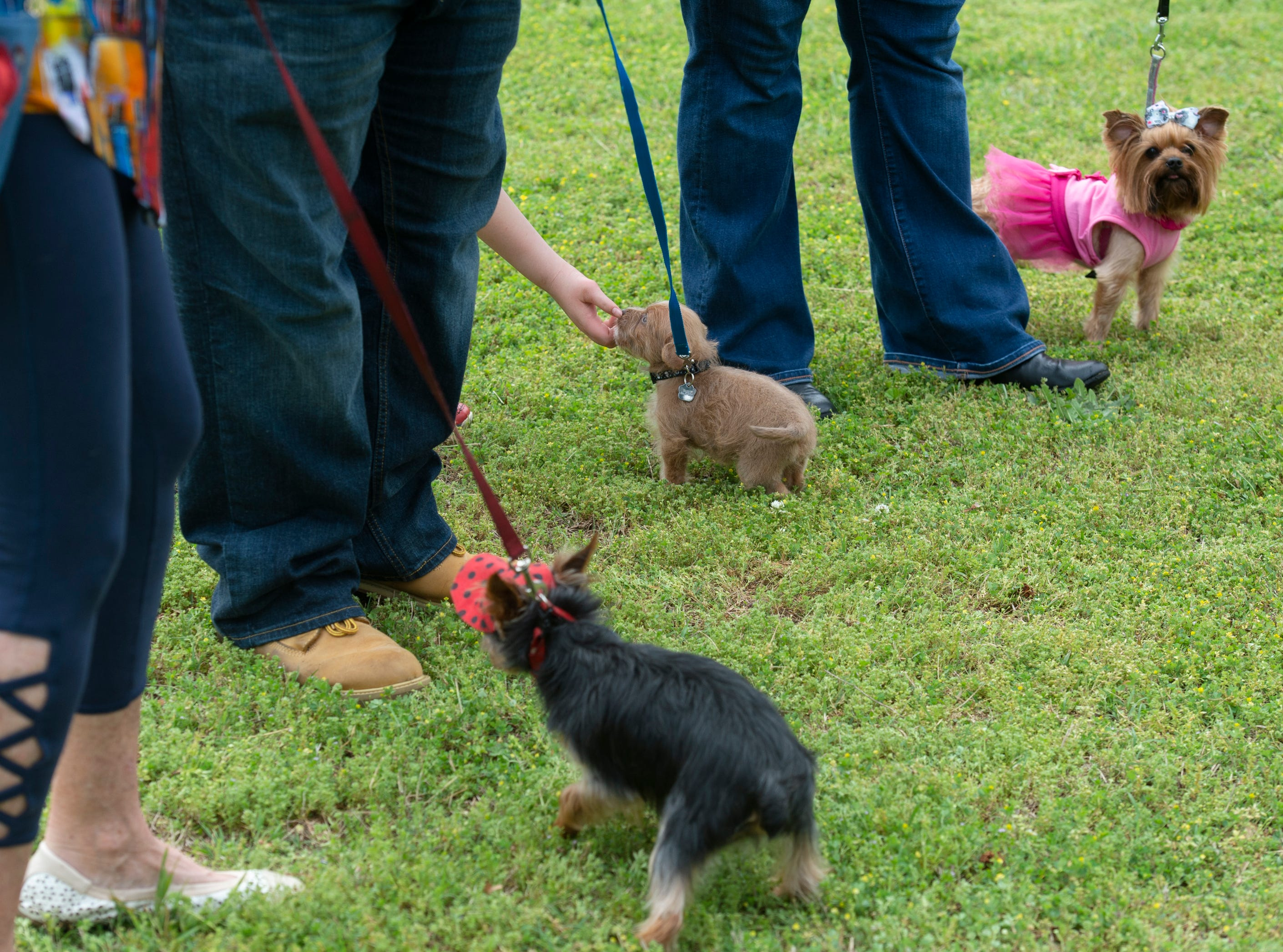 Dogs compete in the smallest dog category during Paws for a Cause held in Simpsonville City Park Saturday, April 13, 2019.