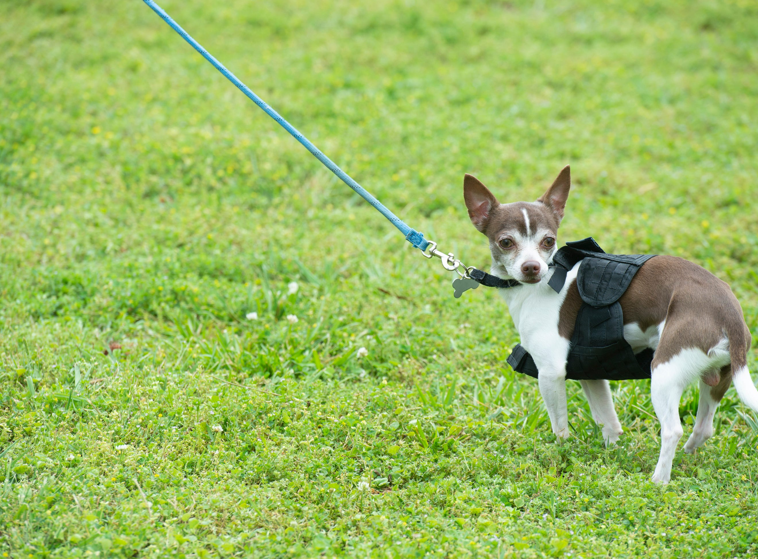 Carmen Hall and her dog Oreo compete in the smallest dog contest at Paws for a Cause held at Simpsonville City Park Saturday, April 13, 2019. The event was a fundraiser for Concerned Citizens for Animals. Oreo came in second place.