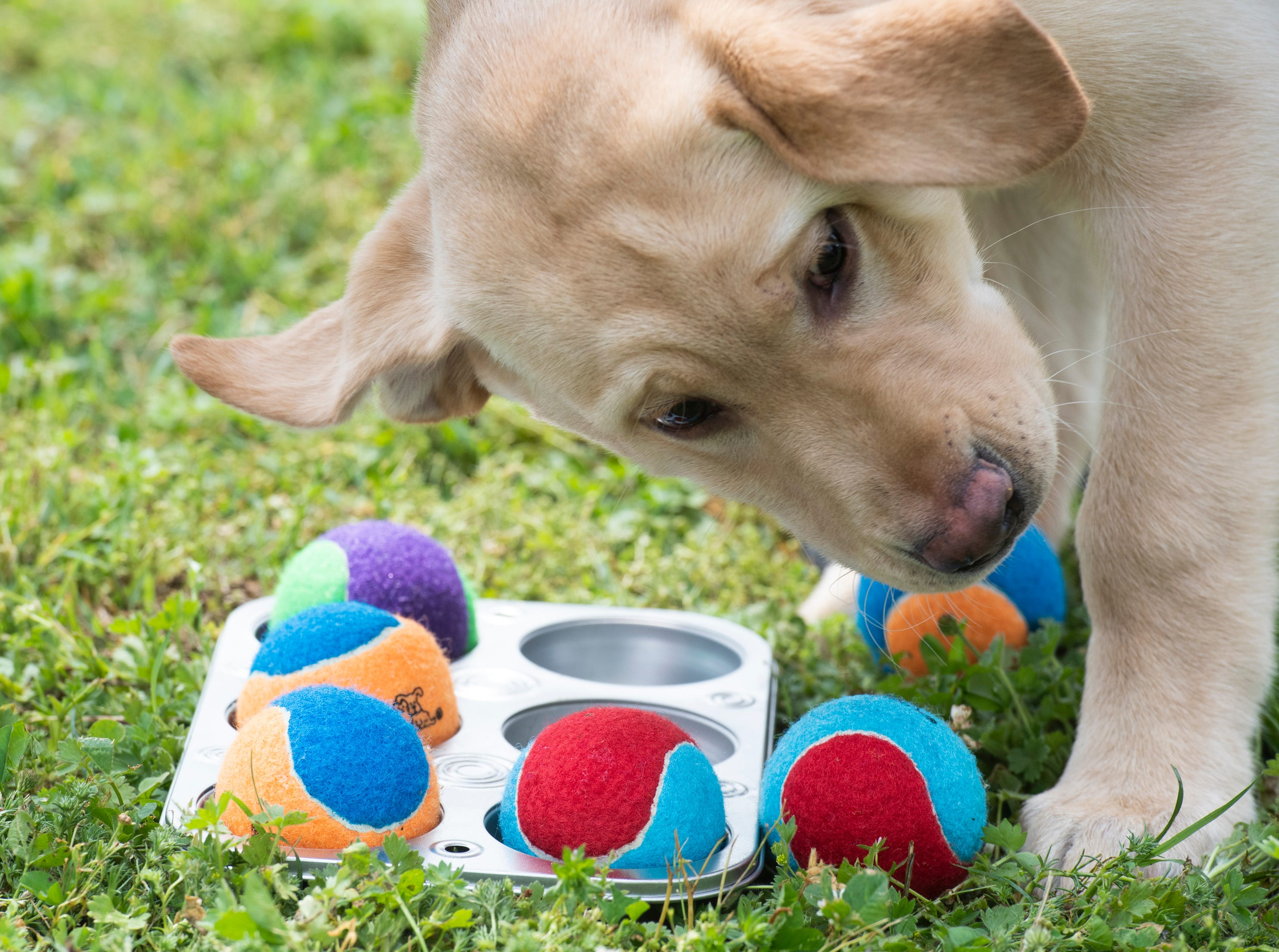 """Three month-old Luke plays the """"muffin tin"""" game during Paws for a Cause at Simpsonville City Park Saturday, April 13, 2019. In the game, dogs competed to be the first to find a treat hidden under tennis balls."""