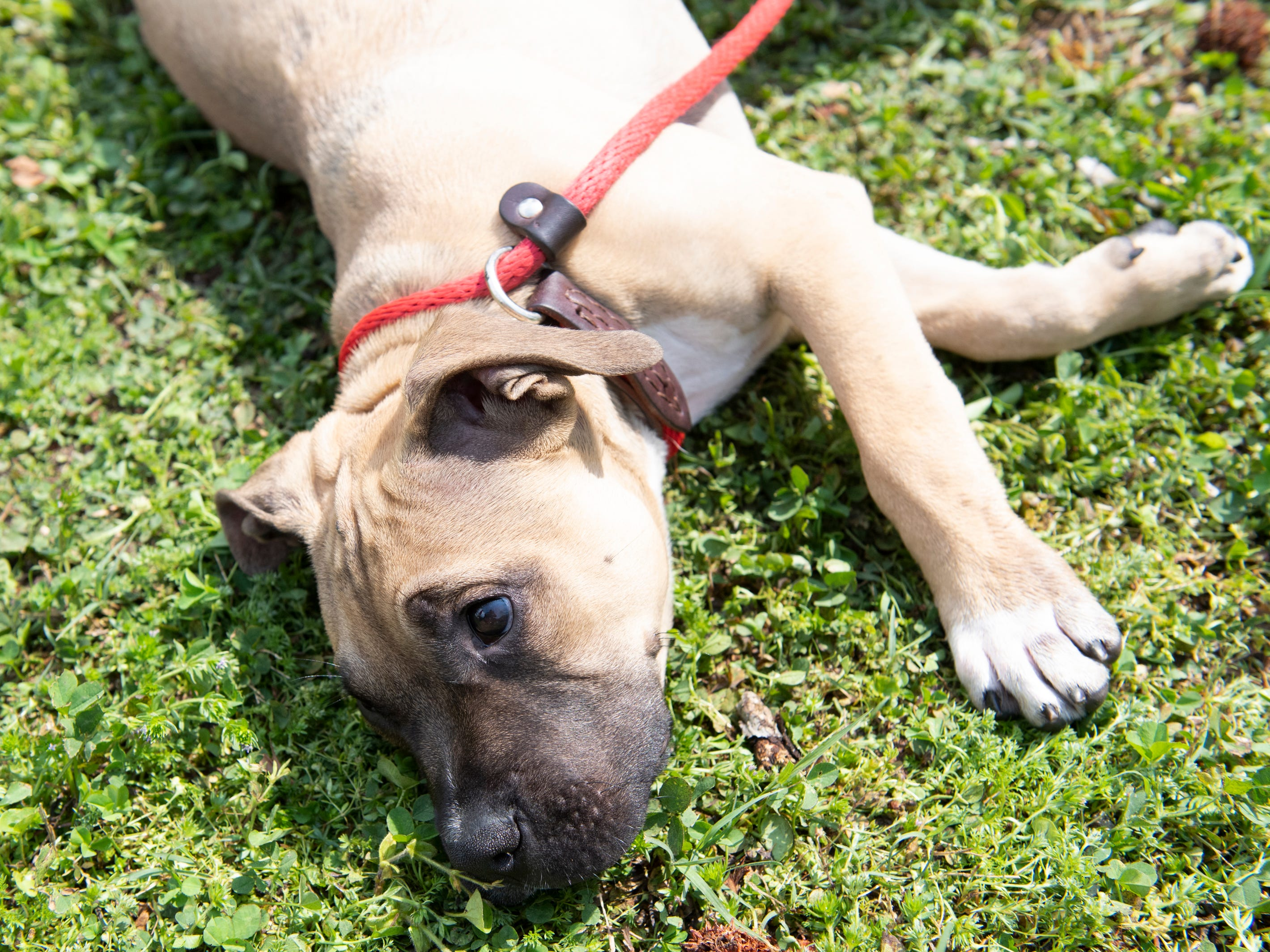 Louis rests during Paws for a Cause at Simpsonville City Park Saturday, April 13, 2019. Louis was one of the dogs up for adoption from Concerned Citizens for Animals (CCA). Louis found a home during the event, which was a fundraiser for CCA.