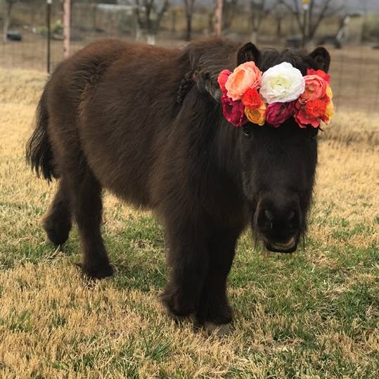 Barn buddies: Missing sheep and miniature horse returned to owner