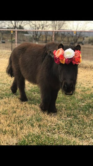 Petunia, a miniature horse, went missing from it's home near Doña Ana Road and Valley Drive on Friday, April 12, 2019.