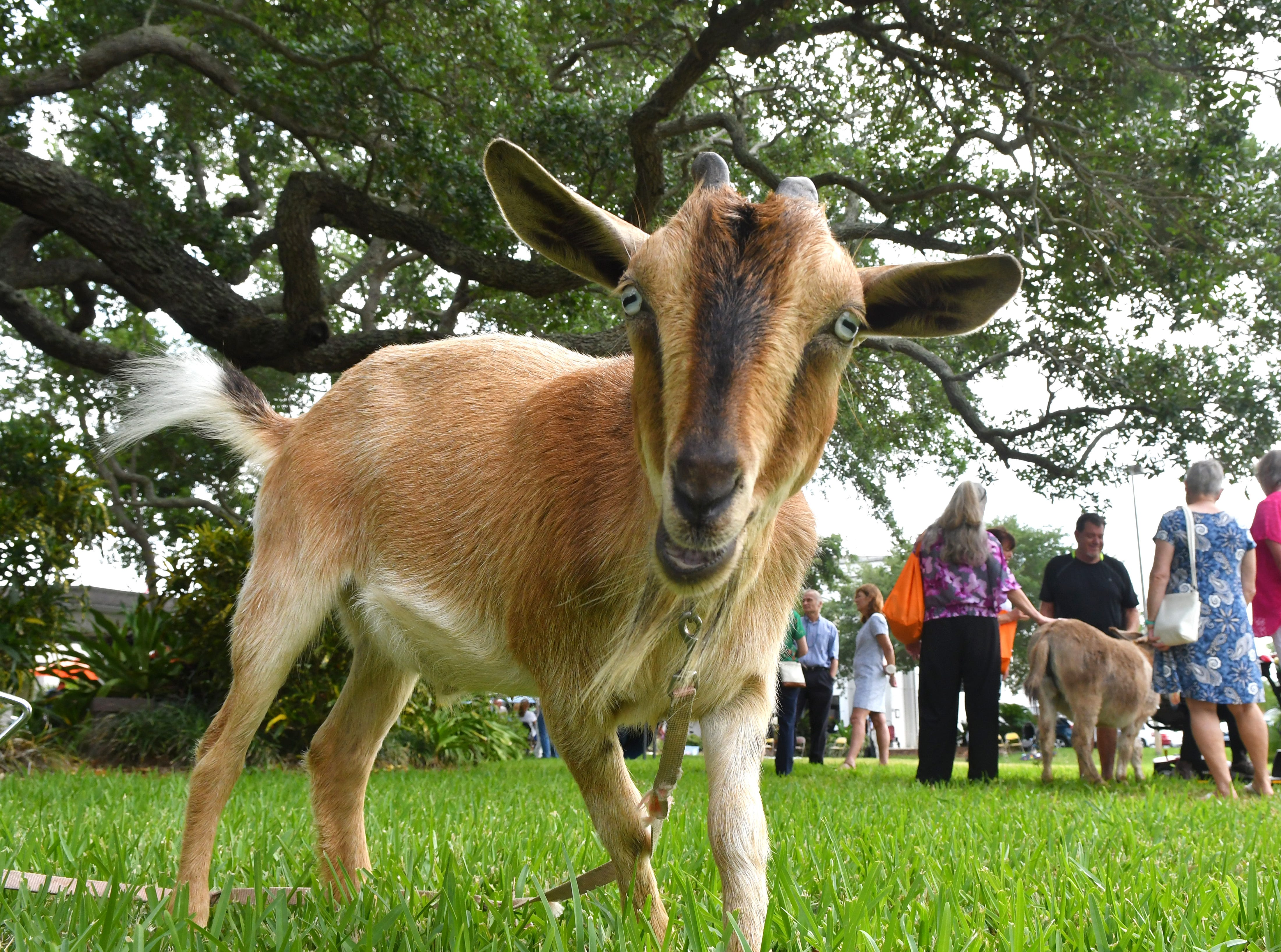 Kendrick the goat was either posing, or sizing up the camera for a possible snack. Eastminster Presbyterian Church held a free Palm Sunday Funday following a traditional morning service. Activities included several animals from Cox Farms, Jazz music by the Ron Teixeira Trio, crafts, food, egg hunts, and  more. This Indialantic church, which is over 75 years old, will hold several series on Easter Sunday.