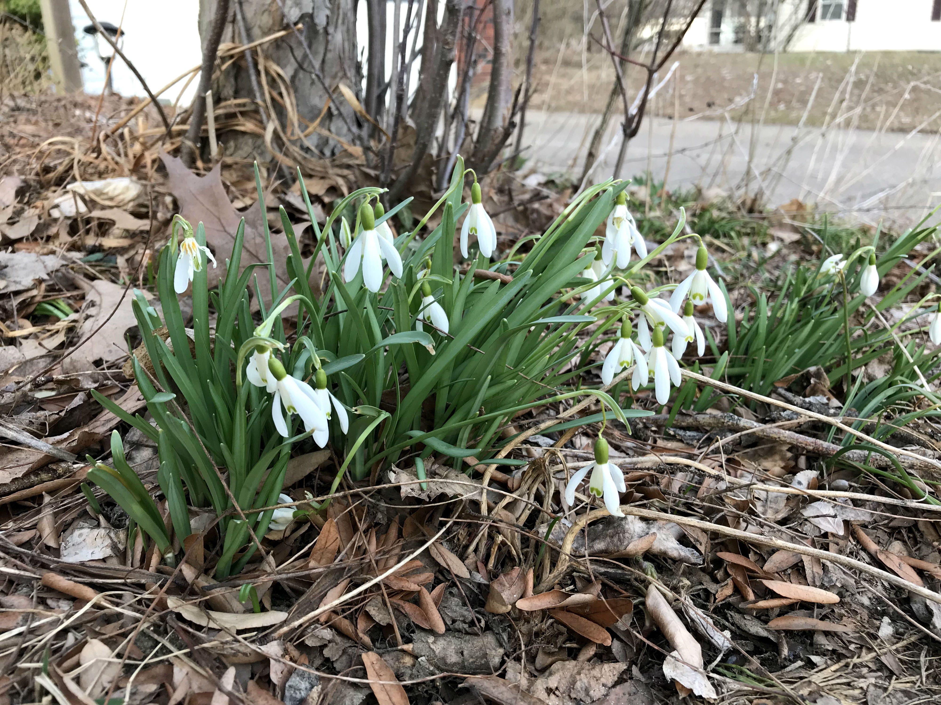 Snowdrops are in bloom on Saturday, April 13, 2019, in South Burlington.