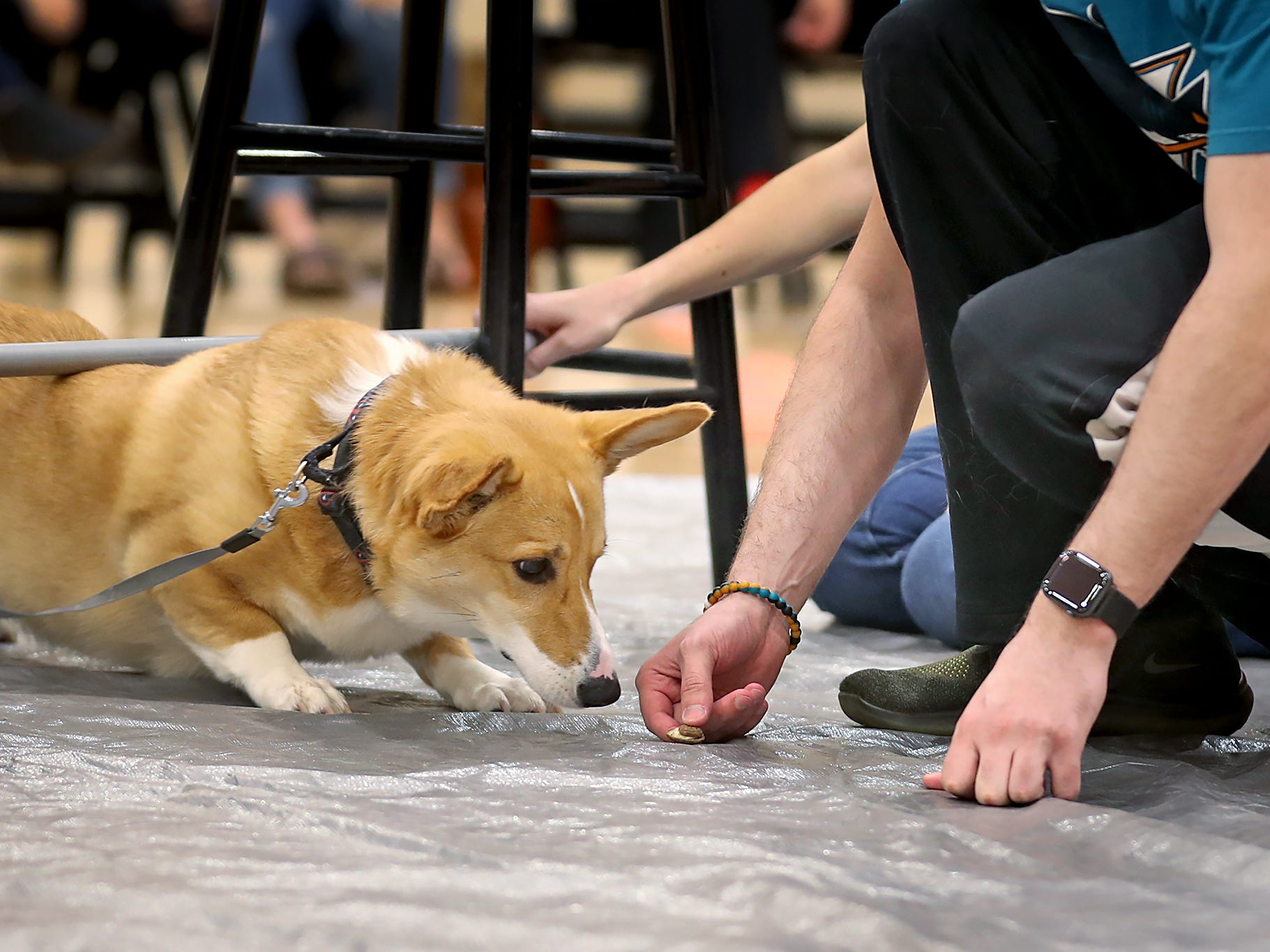 Spartacus goes for a treat under the limbo bar at the Indianapolis Corgi Limbo & Costume Contest at IUPUI, Sunday, April 14, 2019.  The event benefits children orphaned by HIV/AIDS in eSwatini, Africa.  It is presented by the Give Hope, Fight Poverty IUPUI chapter.