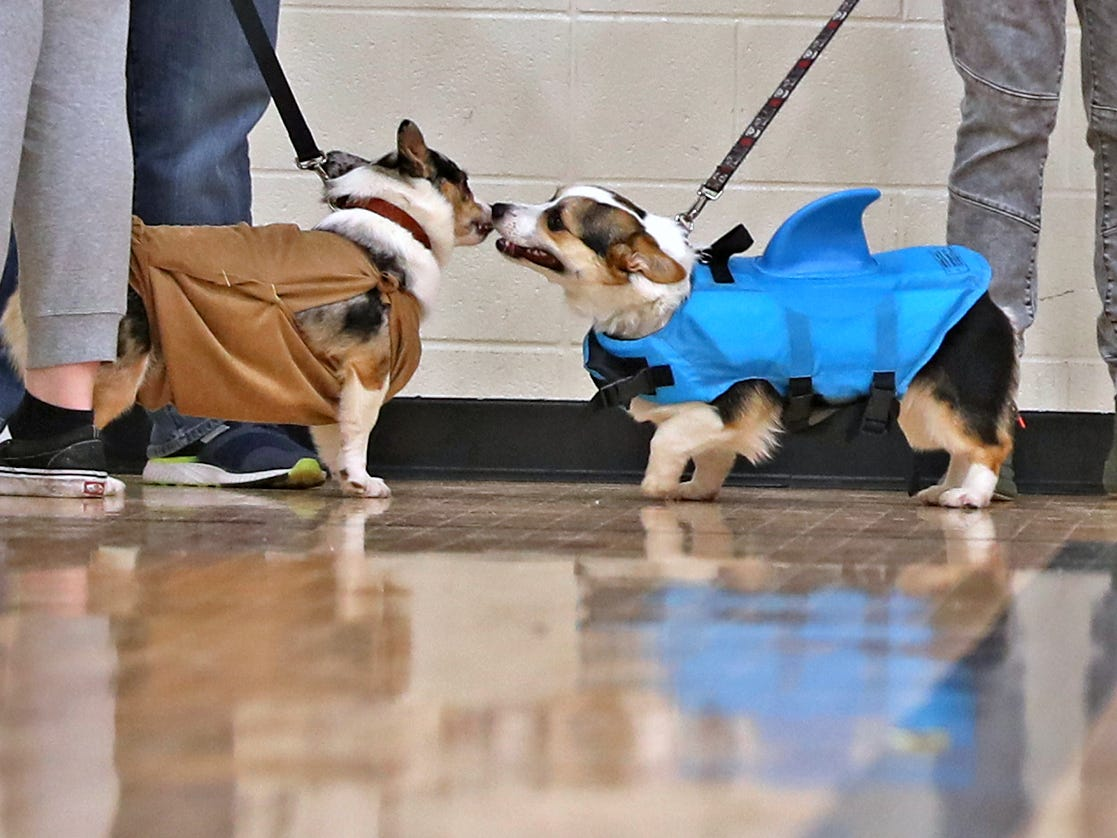 Costumed Corgis get ready for their costume presentations at the Indianapolis Corgi Limbo & Costume Contest at IUPUI, Sunday, April 14, 2019.  The event benefits children orphaned by HIV/AIDS in eSwatini, Africa.  It is presented by the Give Hope, Fight Poverty IUPUI chapter.