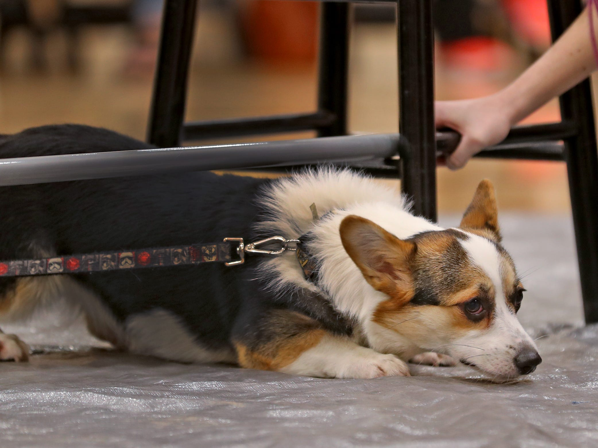 Tater Tot makes it under the limbo bar at the Indianapolis Corgi Limbo & Costume Contest at IUPUI, Sunday, April 14, 2019.  The event benefits children orphaned by HIV/AIDS in eSwatini, Africa.  It is presented by the Give Hope, Fight Poverty IUPUI chapter.