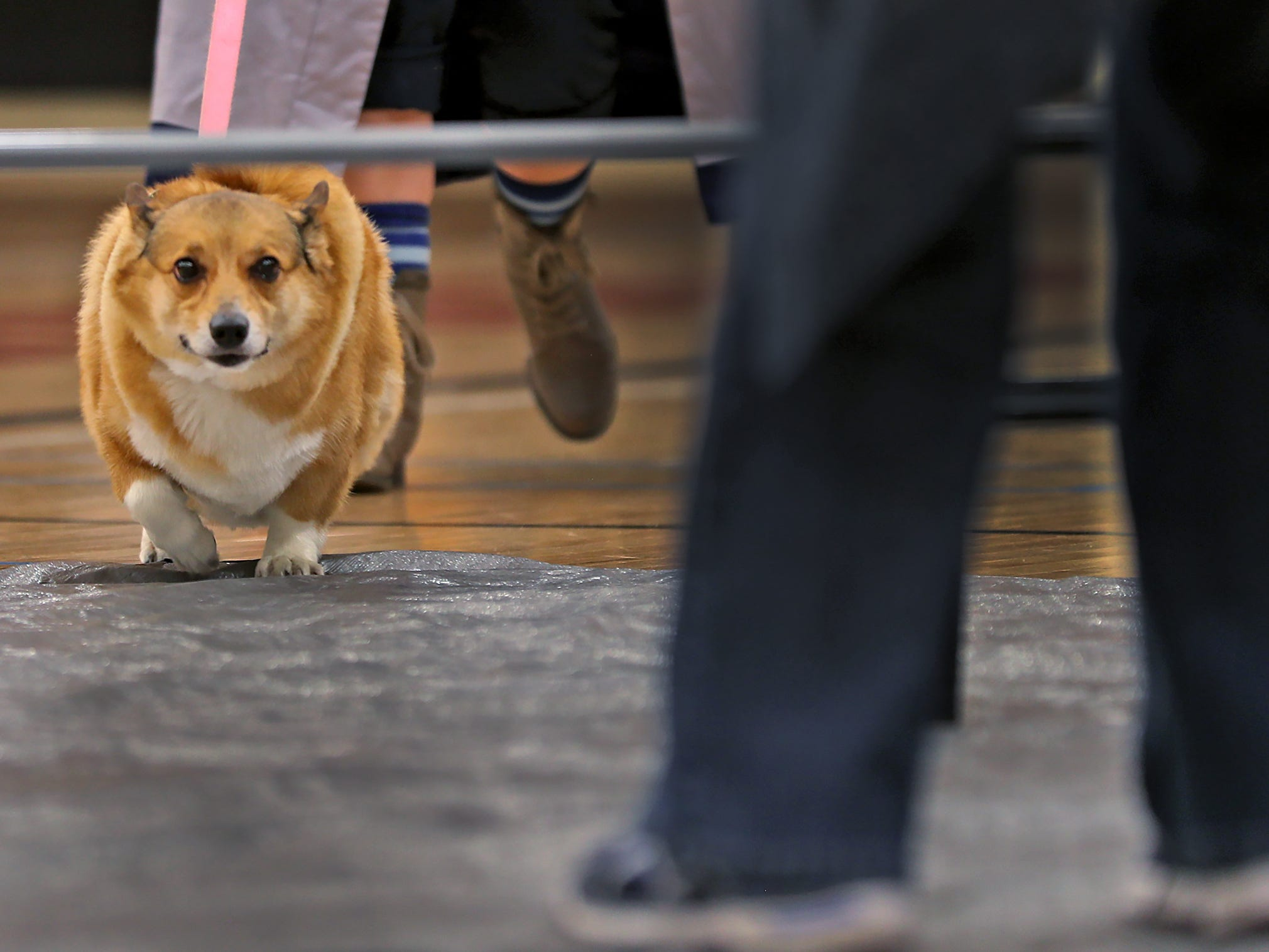 Jasmine heads under the limbo bar at the Indianapolis Corgi Limbo & Costume Contest at IUPUI, Sunday, April 14, 2019.  The event benefits children orphaned by HIV/AIDS in eSwatini, Africa.  It is presented by the Give Hope, Fight Poverty IUPUI chapter.