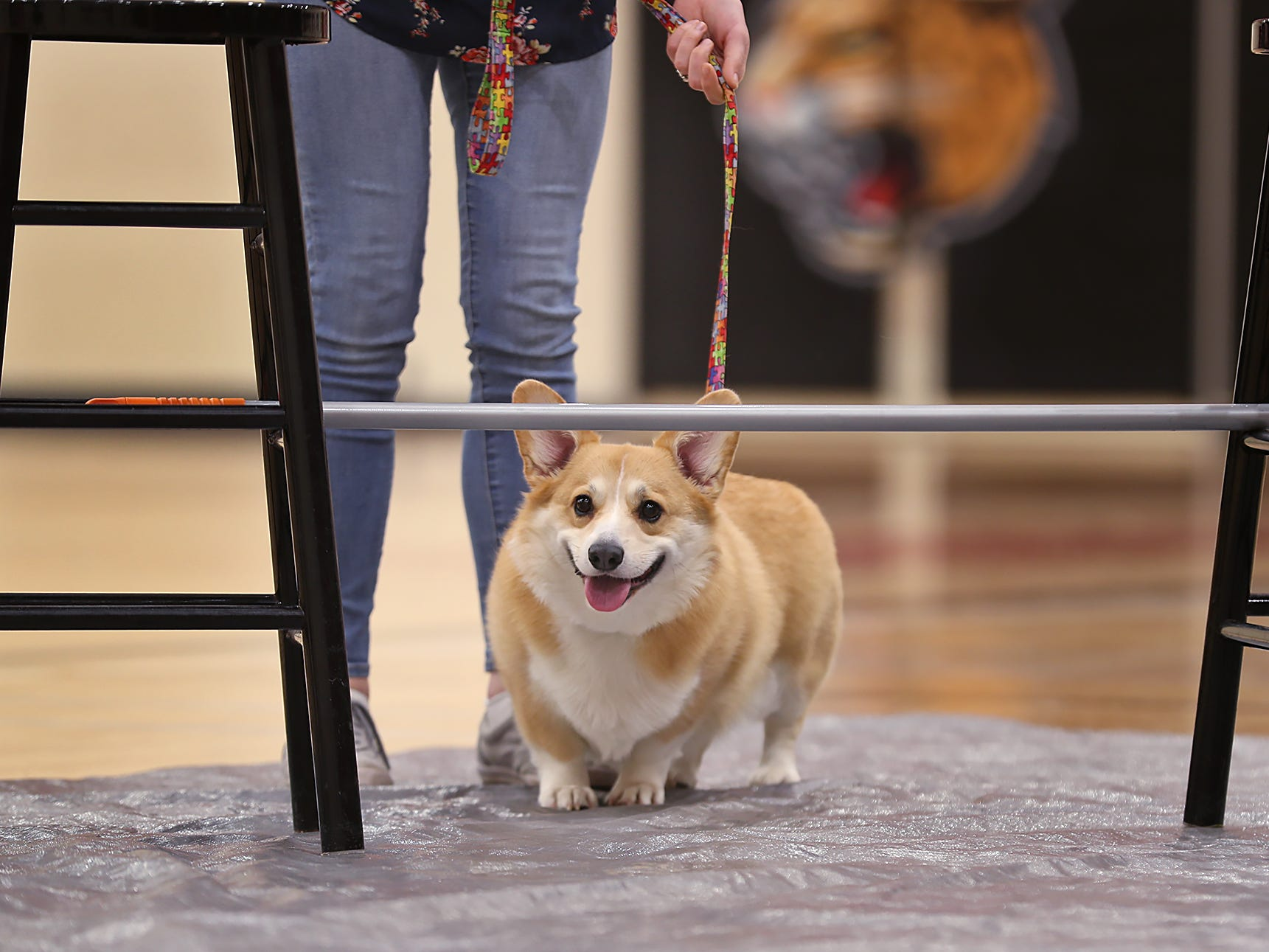 Emmett smiles before heading under the limbo bar at the Indianapolis Corgi Limbo & Costume Contest at IUPUI, Sunday, April 14, 2019.  The event benefits children orphaned by HIV/AIDS in eSwatini, Africa.  It is presented by the Give Hope, Fight Poverty IUPUI chapter.