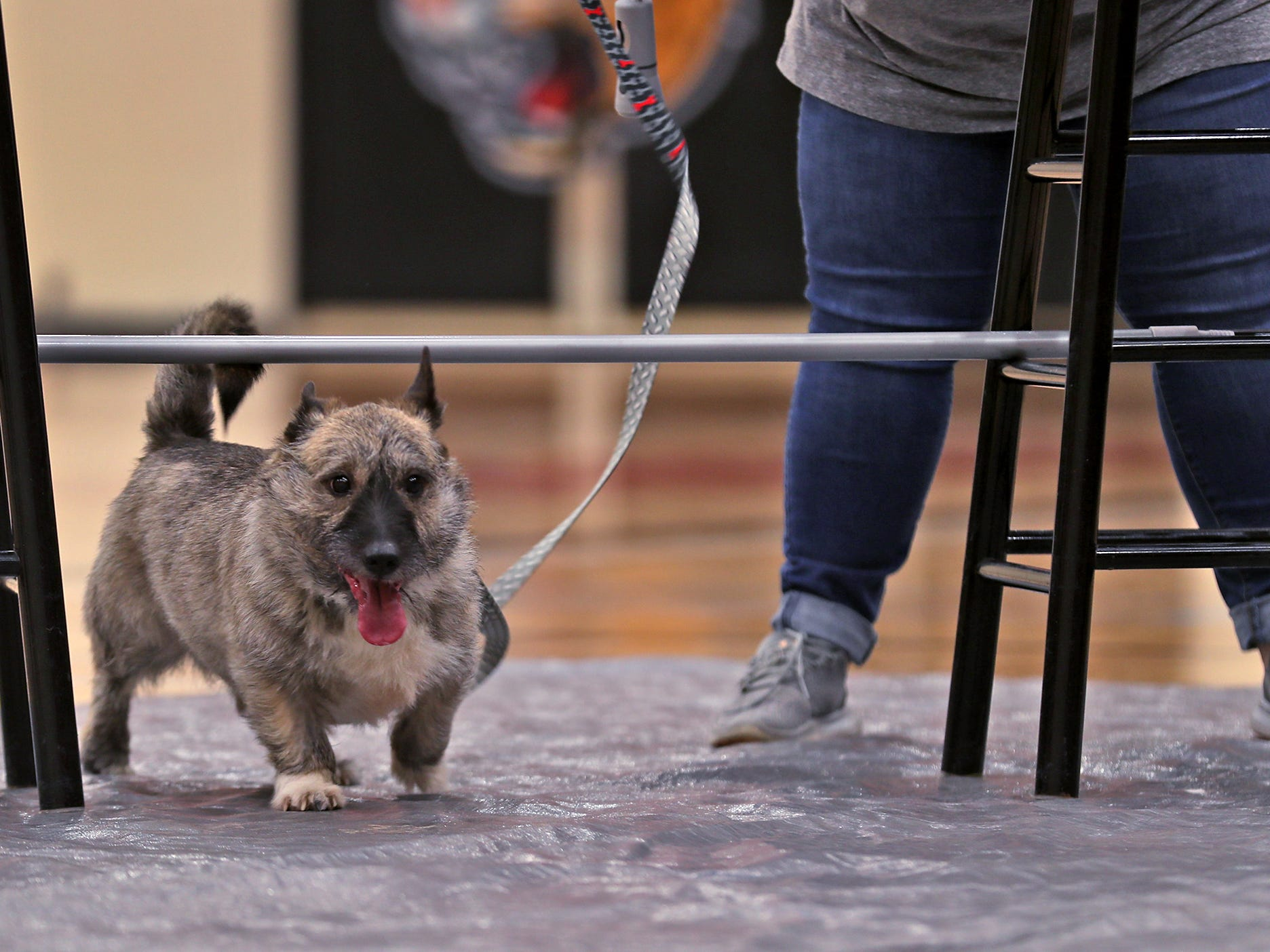 Walter heads under the limbo bar at the Indianapolis Corgi Limbo & Costume Contest at IUPUI, Sunday, April 14, 2019.  The event benefits children orphaned by HIV/AIDS in eSwatini, Africa.  It is presented by the Give Hope, Fight Poverty IUPUI chapter.