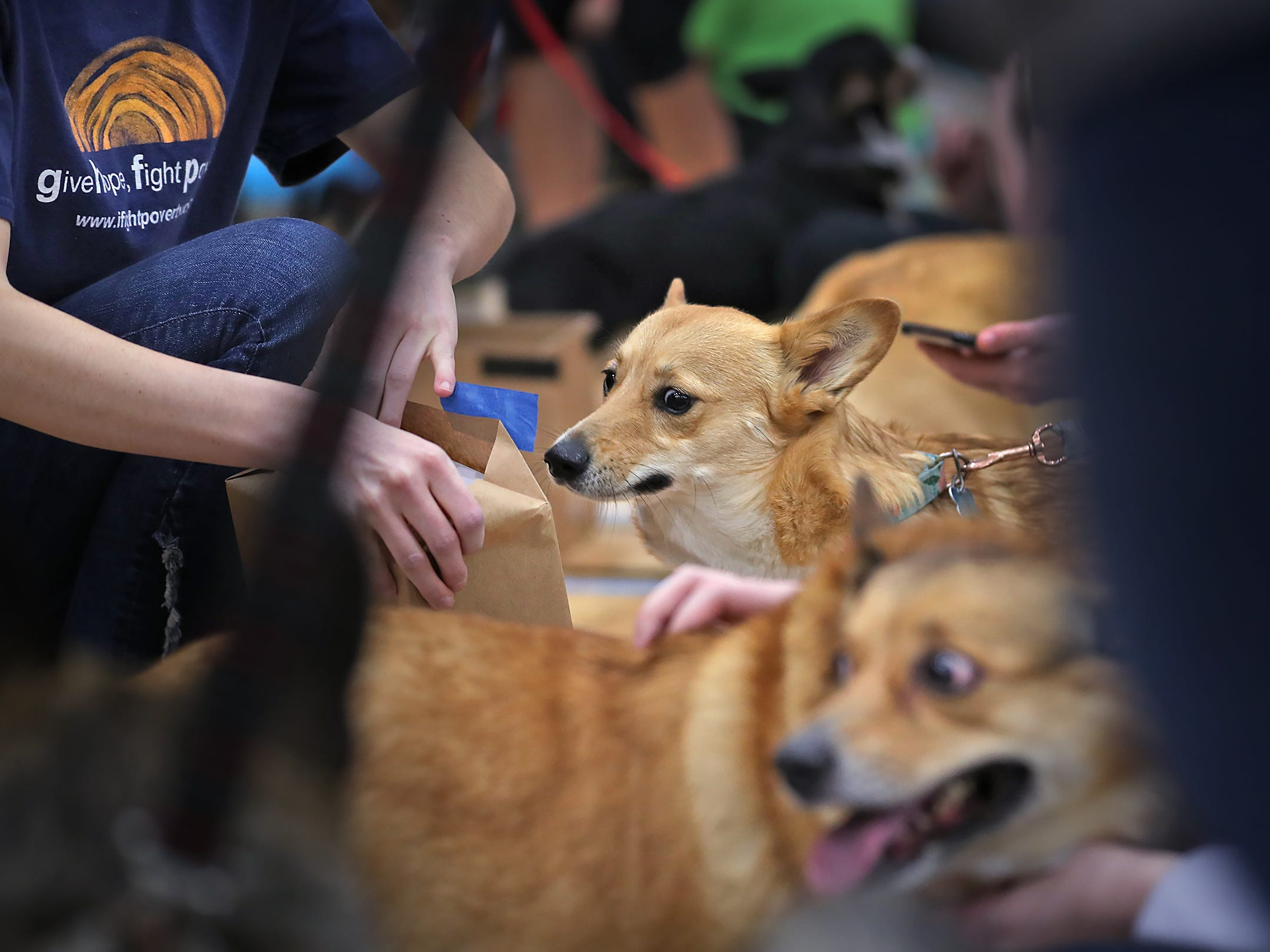 Murphy and other Corgis wait as people vote on their costume presentations at the Indianapolis Corgi Limbo & Costume Contest at IUPUI, Sunday, April 14, 2019.  The event benefits children orphaned by HIV/AIDS in eSwatini, Africa.  It is presented by the Give Hope, Fight Poverty IUPUI chapter.