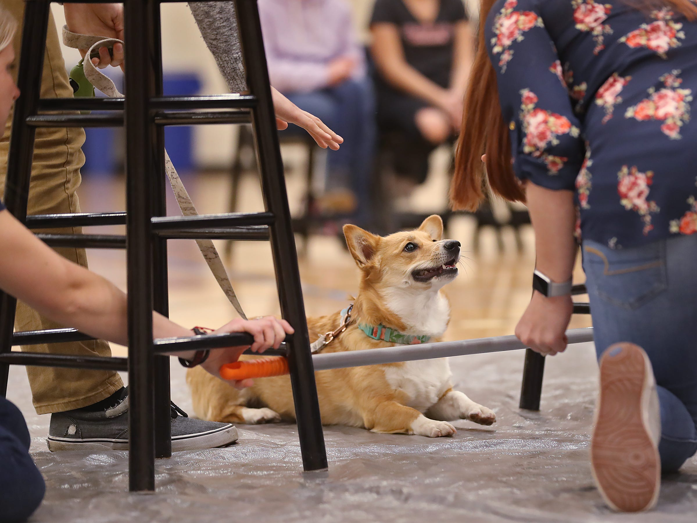 Murphy thinks about making it under the low bar during the limbo competition at the Indianapolis Corgi Limbo & Costume Contest at IUPUI, Sunday, April 14, 2019.  The event benefits children orphaned by HIV/AIDS in eSwatini, Africa.  It is presented by the Give Hope, Fight Poverty IUPUI chapter.