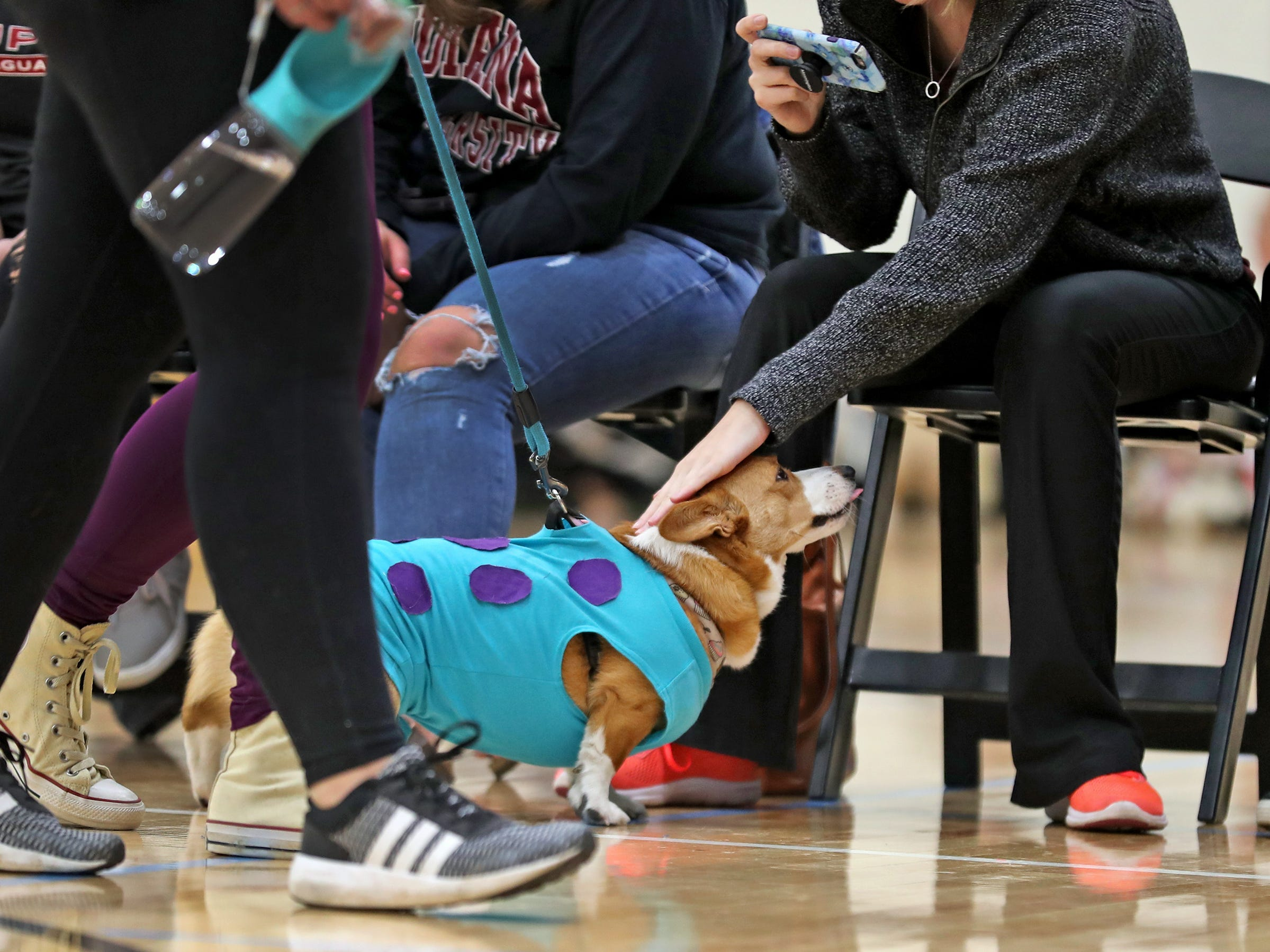 Ivy gets praise as she heads down the runway for the costume contest at the Indianapolis Corgi Limbo & Costume Contest at IUPUI, Sunday, April 14, 2019.  The event benefits children orphaned by HIV/AIDS in eSwatini, Africa.  It is presented by the Give Hope, Fight Poverty IUPUI chapter.