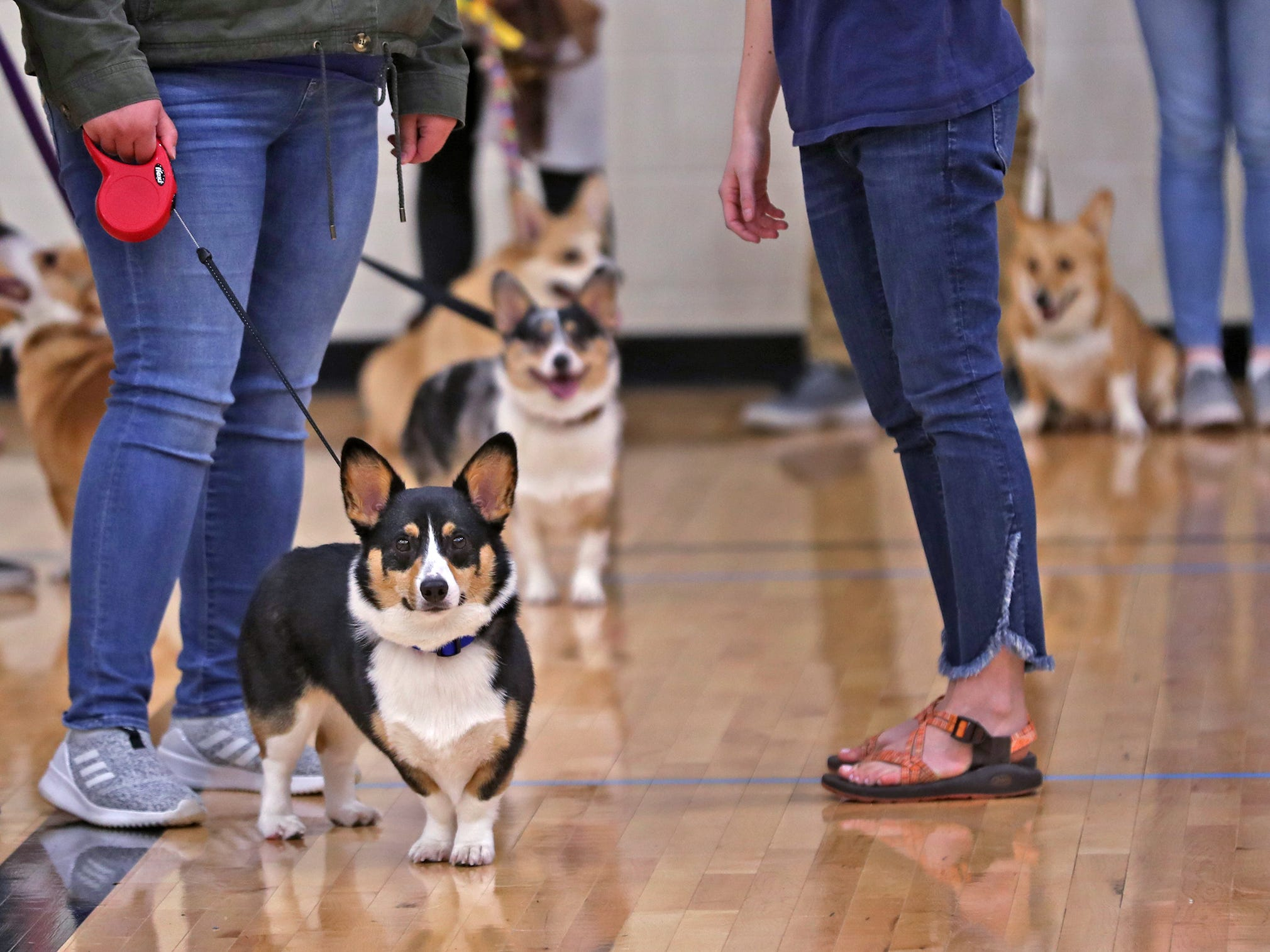 Corgis wait for the limbo contest at the Indianapolis Corgi Limbo & Costume Contest at IUPUI, Sunday, April 14, 2019.  The event benefits children orphaned by HIV/AIDS in eSwatini, Africa.  It is presented by the Give Hope, Fight Poverty IUPUI chapter.