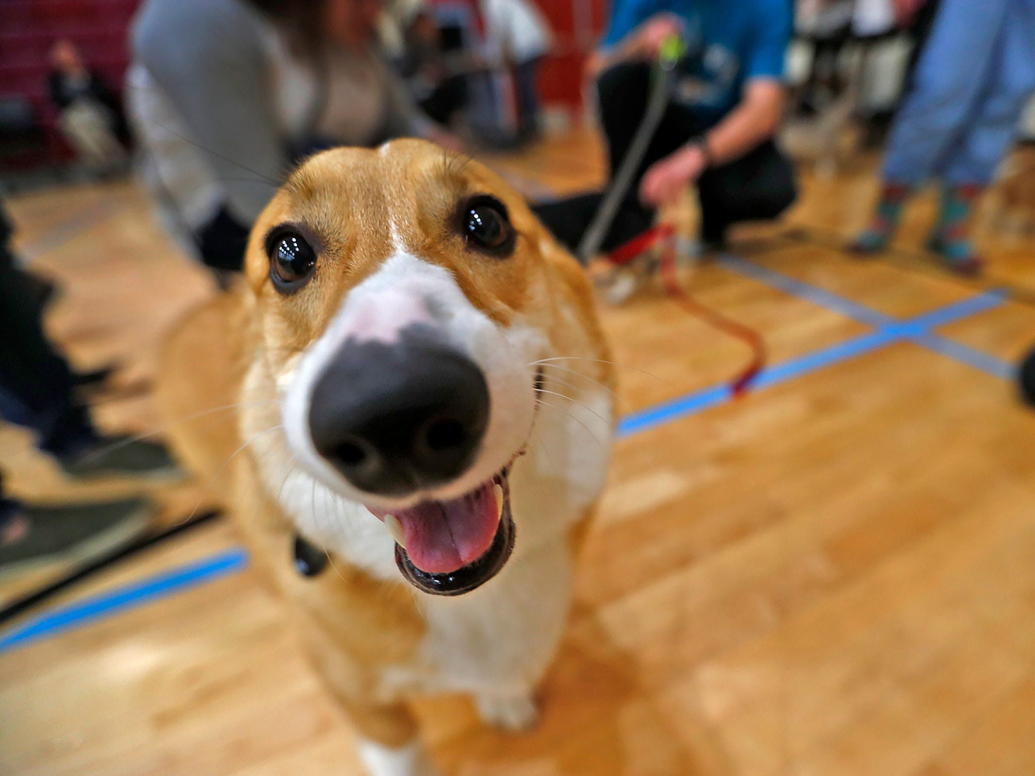 Curious Corgis were all smiles at the Indianapolis Corgi Limbo & Costume Contest at IUPUI, Sunday, April 14, 2019.  The event benefits children orphaned by HIV/AIDS in eSwatini, Africa.  It is presented by the Give Hope, Fight Poverty IUPUI chapter.