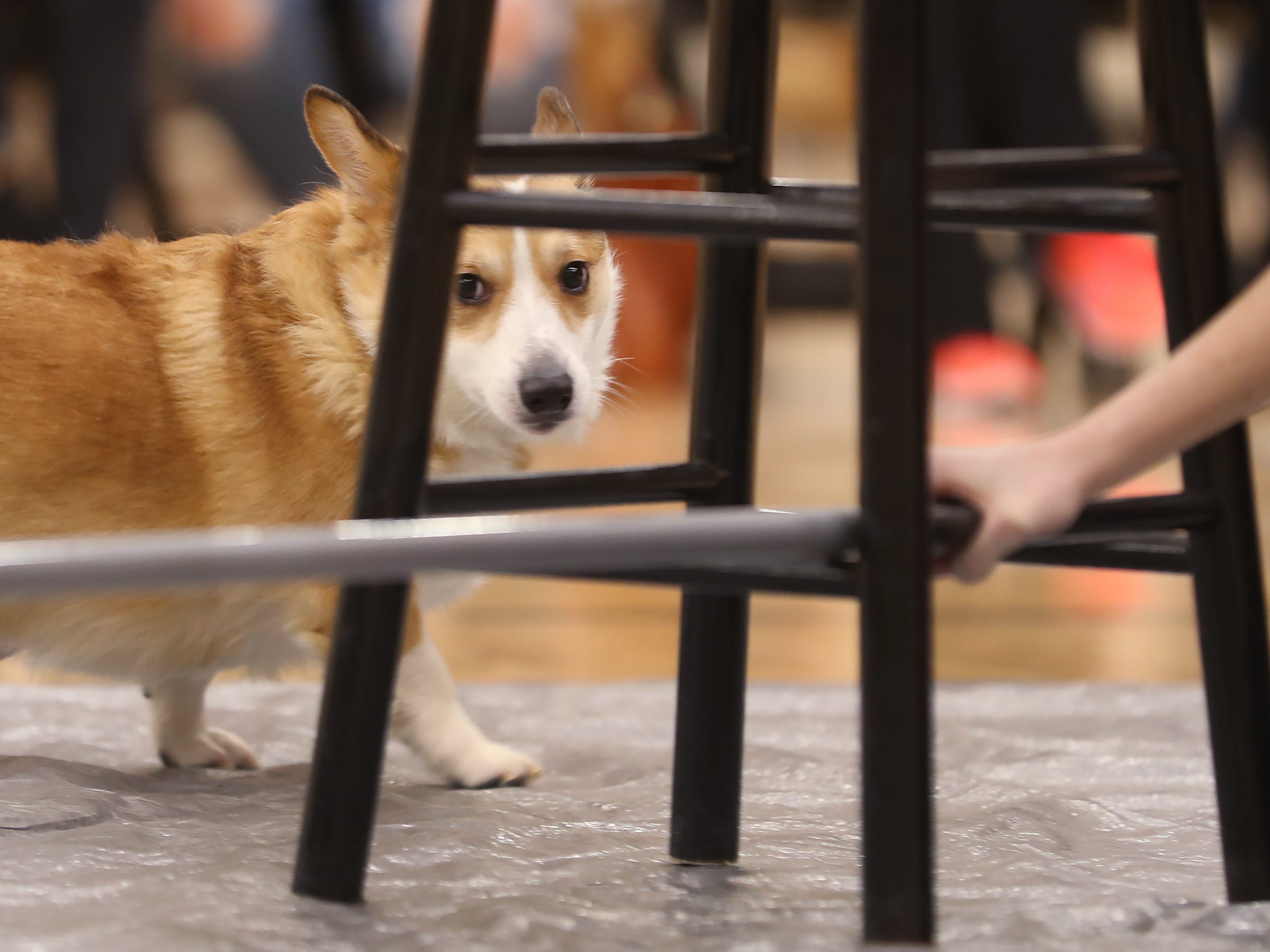 This Corgi is not sure the limbo bar in passable, at the Indianapolis Corgi Limbo & Costume Contest at IUPUI, Sunday, April 14, 2019.  The event benefits children orphaned by HIV/AIDS in eSwatini, Africa.  It is presented by the Give Hope, Fight Poverty IUPUI chapter.