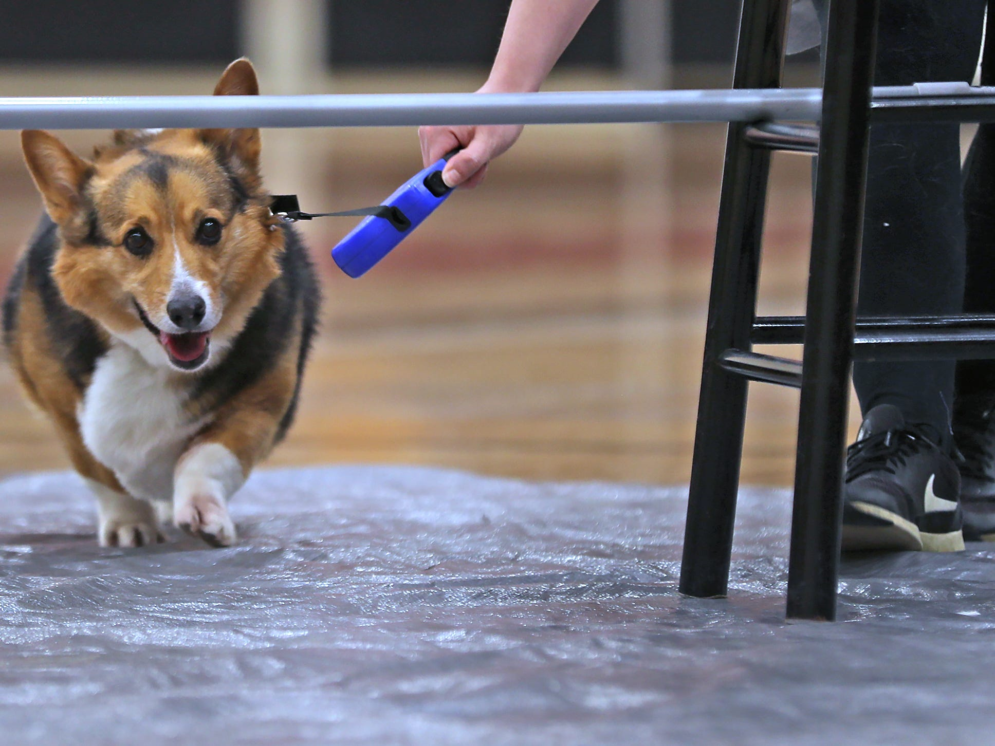 Maverick goes for the limbo bar at the Indianapolis Corgi Limbo & Costume Contest at IUPUI, Sunday, April 14, 2019.  @mavythecorg is his instagram.  The event benefits children orphaned by HIV/AIDS in eSwatini, Africa.  It is presented by the Give Hope, Fight Poverty IUPUI chapter.