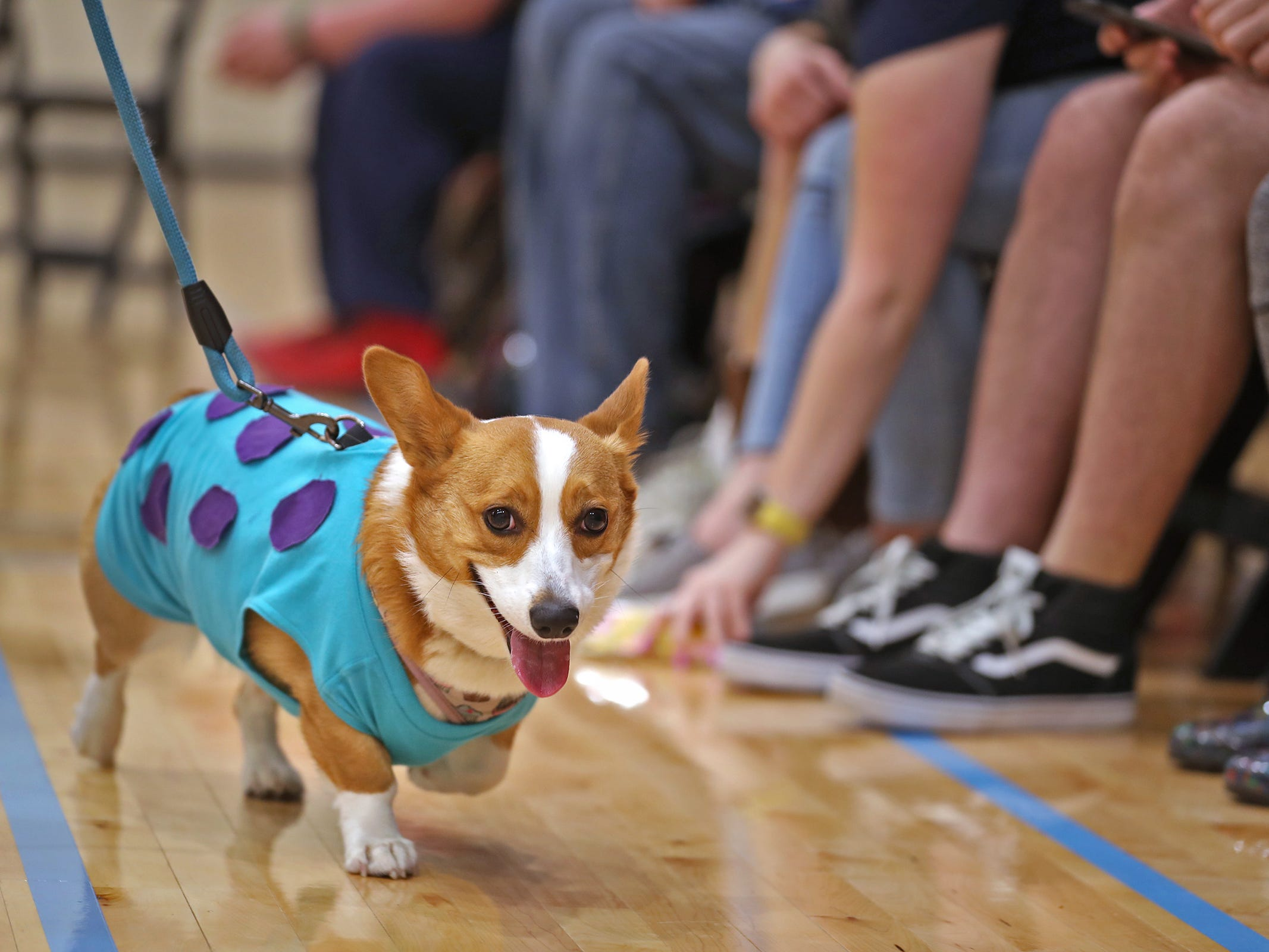 Ivy walks the runway in the costume contest at the Indianapolis Corgi Limbo & Costume Contest at IUPUI, Sunday, April 14, 2019.  The event benefits children orphaned by HIV/AIDS in eSwatini, Africa.  It is presented by the Give Hope, Fight Poverty IUPUI chapter.