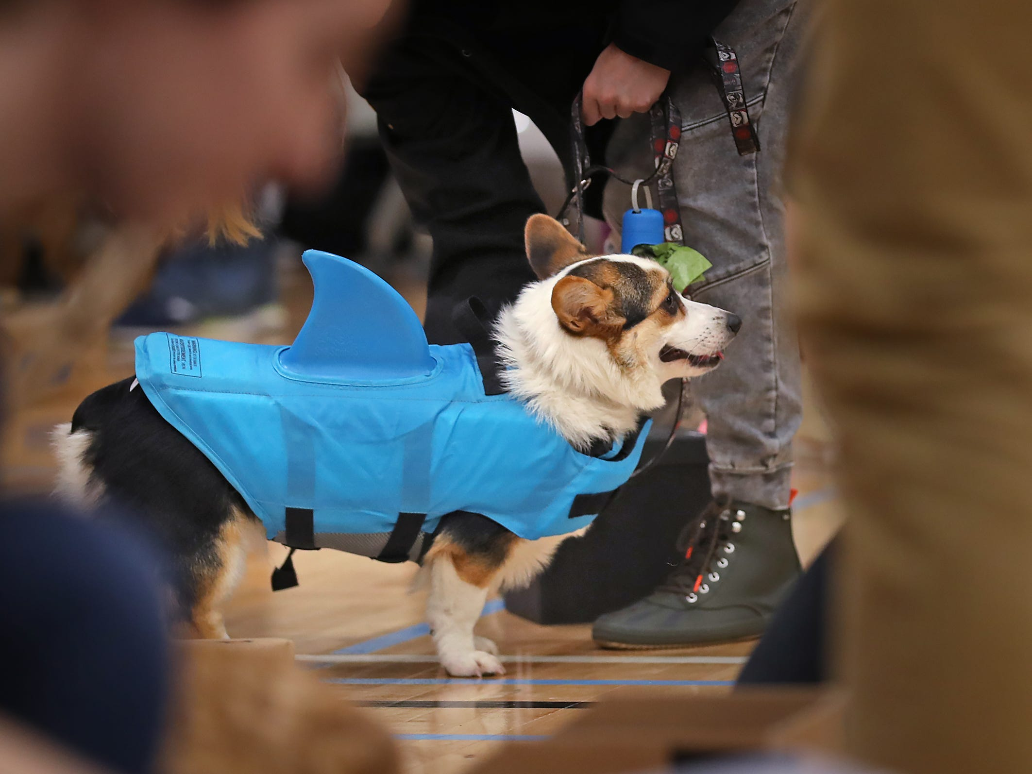 Tator Tot hangs out after the costume contest at the Indianapolis Corgi Limbo & Costume Contest at IUPUI, Sunday, April 14, 2019.  The event benefits children orphaned by HIV/AIDS in eSwatini, Africa.  It is presented by the Give Hope, Fight Poverty IUPUI chapter.