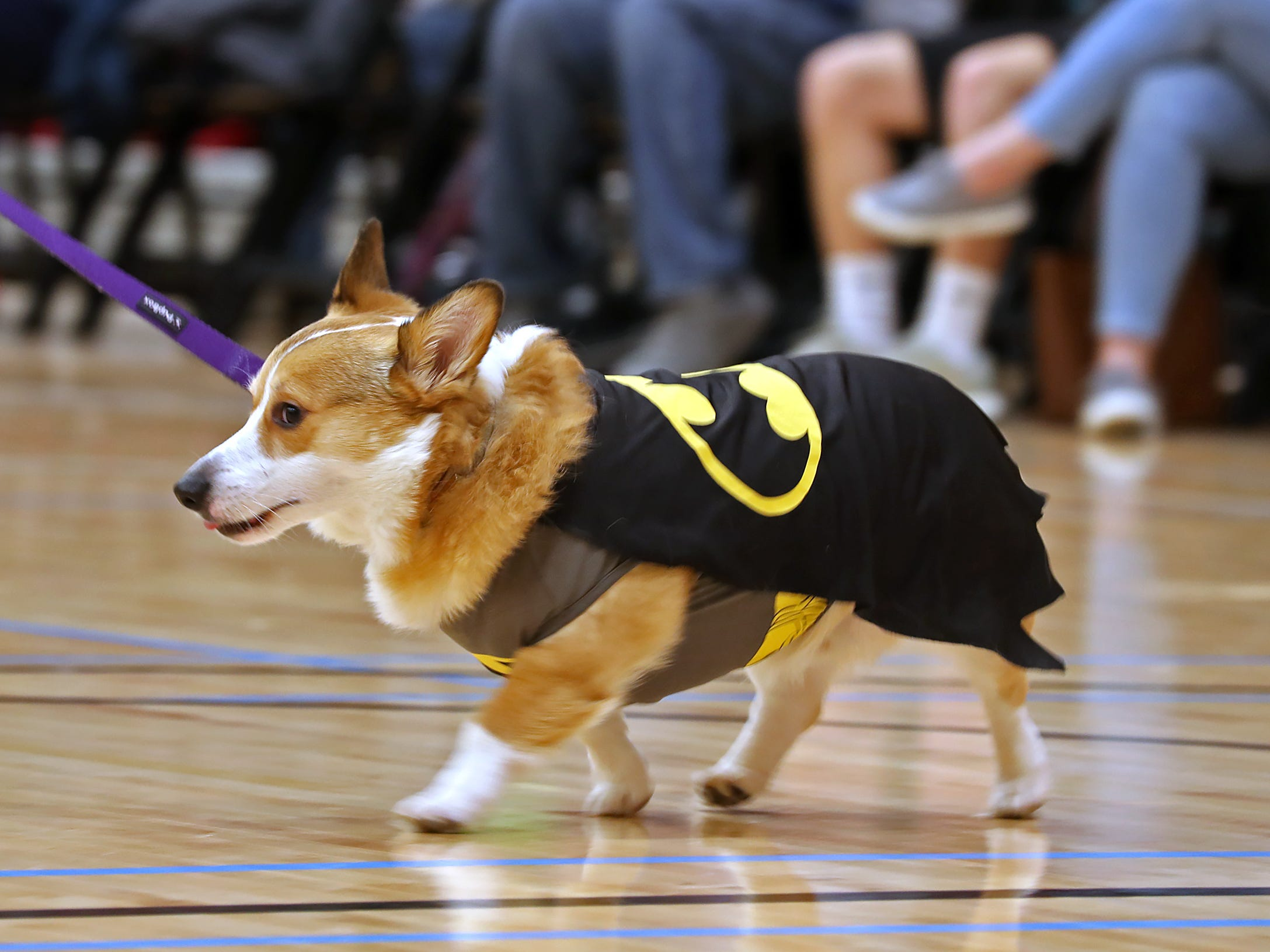 Zero walks the runway during the costume contest at the Indianapolis Corgi Limbo & Costume Contest at IUPUI, Sunday, April 14, 2019.  The event benefits children orphaned by HIV/AIDS in eSwatini, Africa.  It is presented by the Give Hope, Fight Poverty IUPUI chapter.