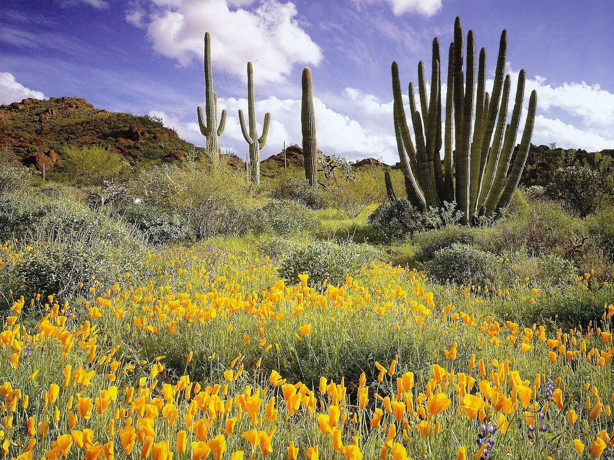 The desert in bloom