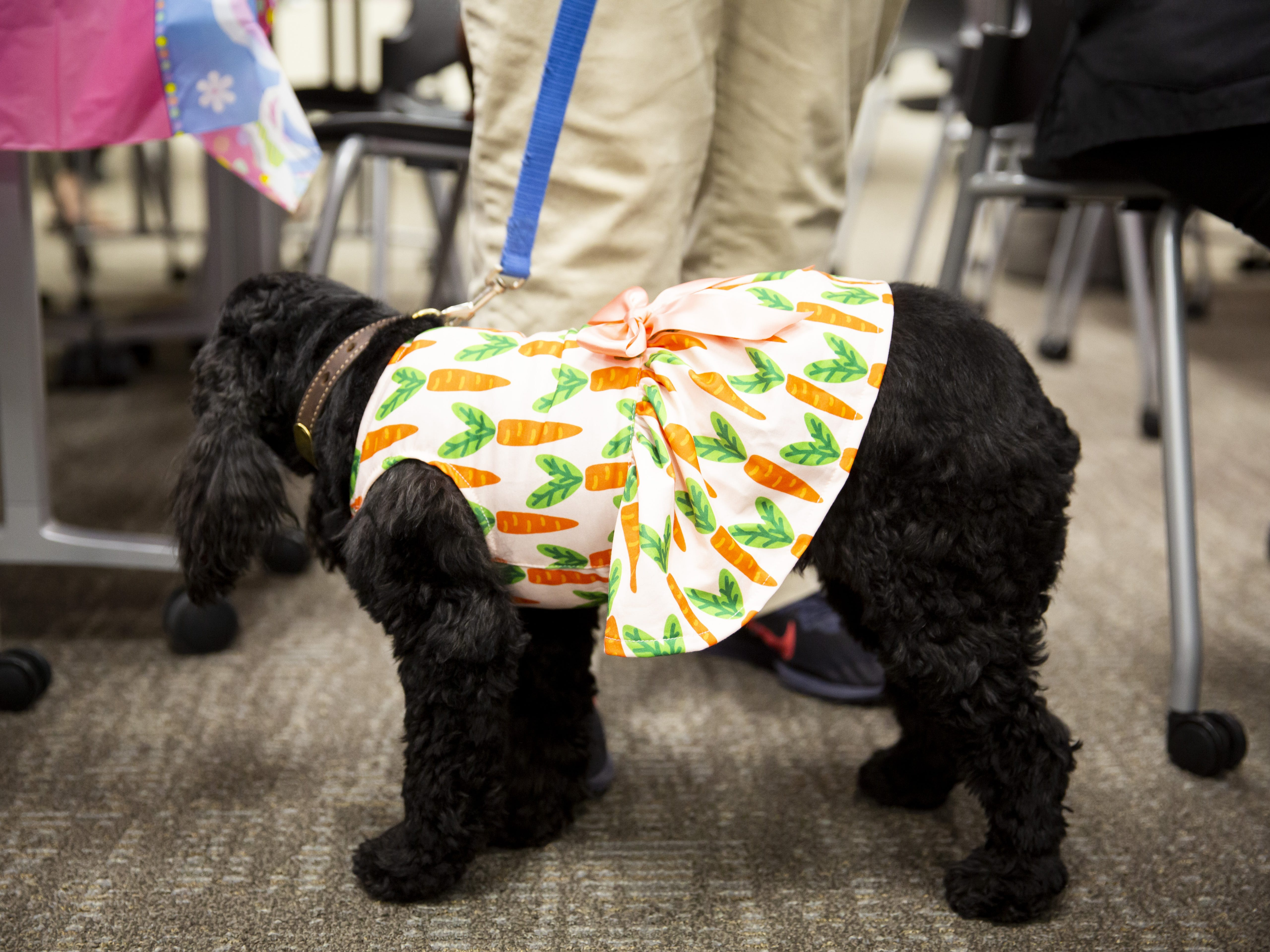 The therapy dog Lacey wears a dress with carrots on it at the Preemie NICU Reunion at Banner University Medical Center on April 13, 2019.