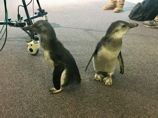 There were irresistible penguins from Wildlife World Zoo in the newsroom this week. Seriously, no one should be expected to get any work done.