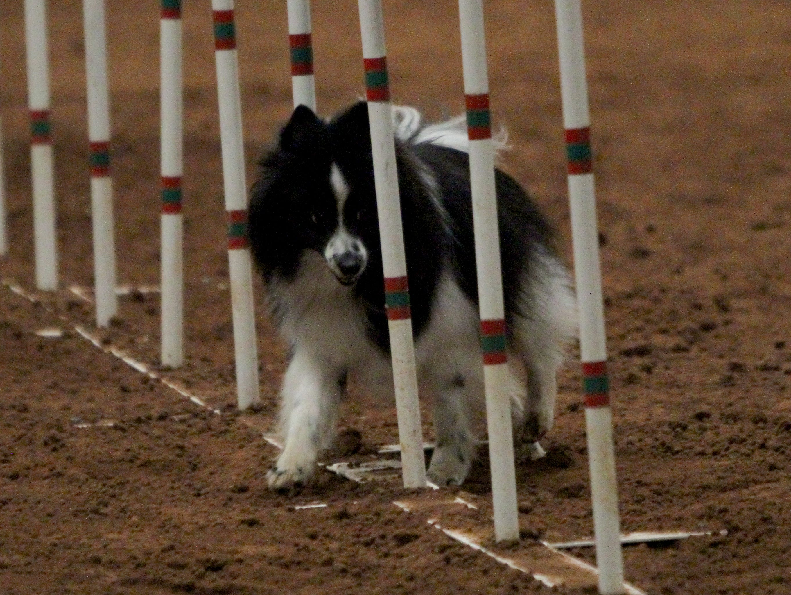 Shelby competes in a agility trial Saturday, April 13, 2019, hotsed by the Obedience Training Club of Wichita Falls in the J.S. Bridwell Agricultural Center.