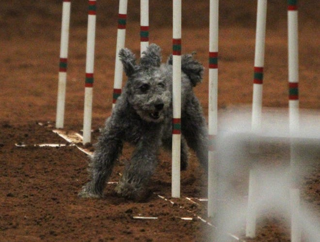 Szolo runs thorugh obstacles Saturday, April 13, 2019, during the Obedience Training Club of Wichita Falls agility trial in the J.S. Bridwell Agricultural Center.