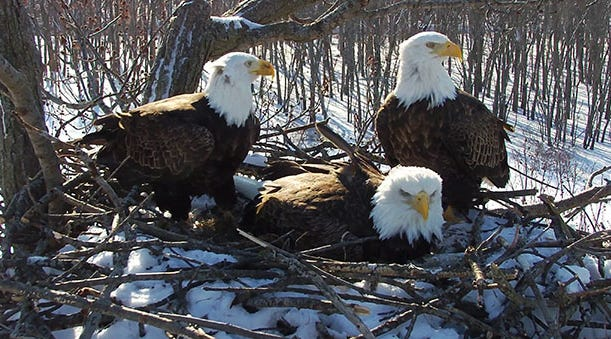 2 dads, 1 mom: Bald eagles raising 3 young in rare single nest and you can watch