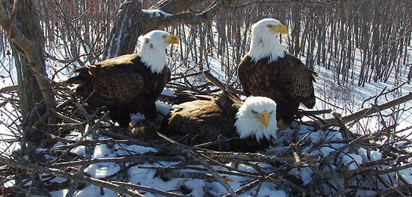 The trio of birds who are sitting on the nest take part in the parental care of three eaglets.