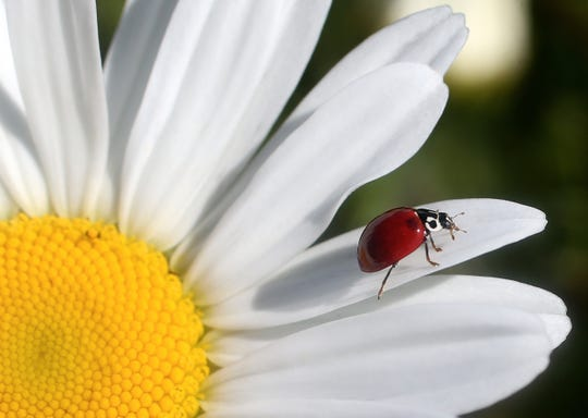 The Earth Day Ladybug Launch is 10 a.m. to noon Saturday at the Port St. Lucie Botanical Gardens.
