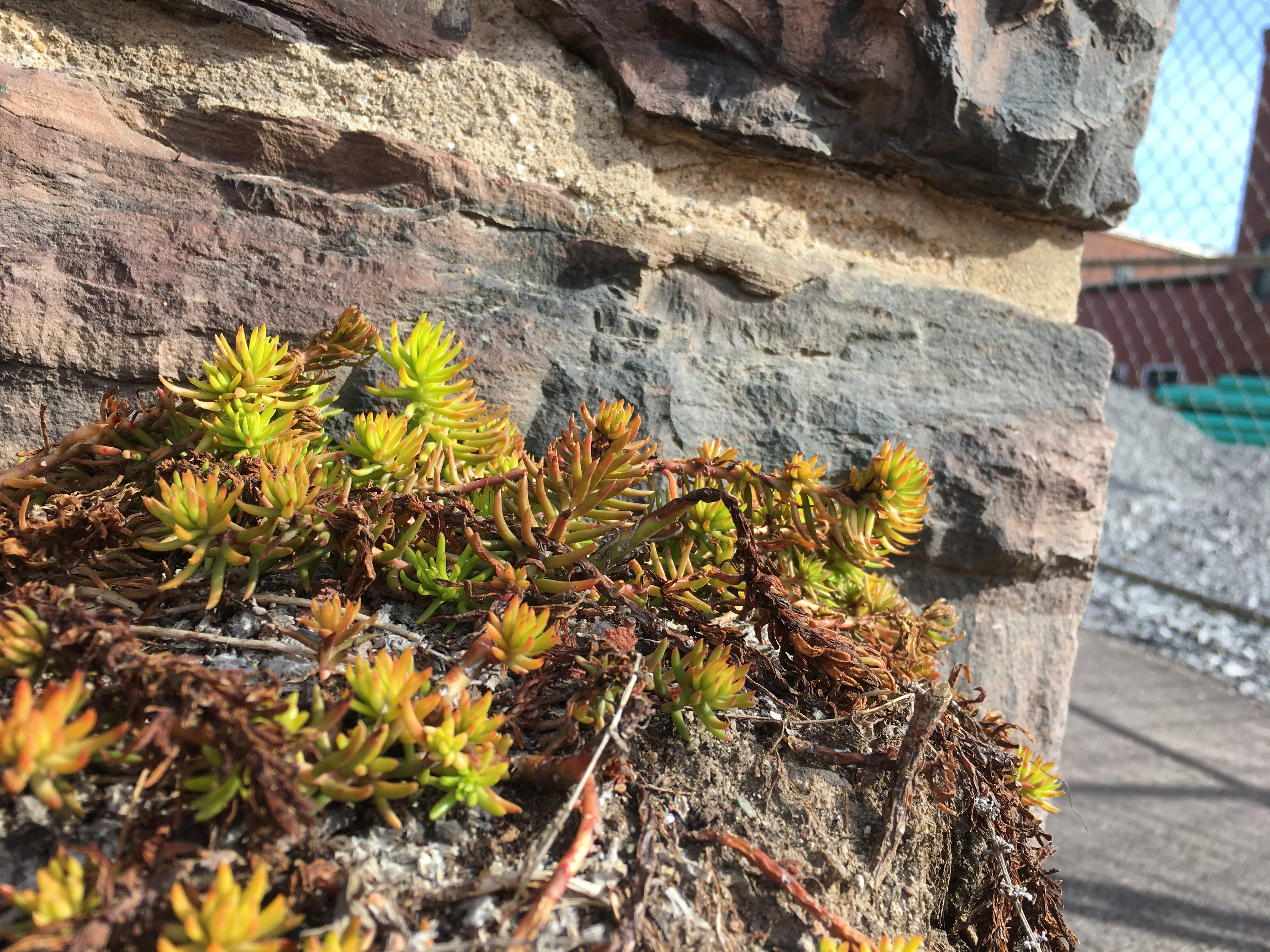 Sedum revives at a sun-drenched corner of King and St. Paul streets in Burlington on Sunday, April 14, 2019.