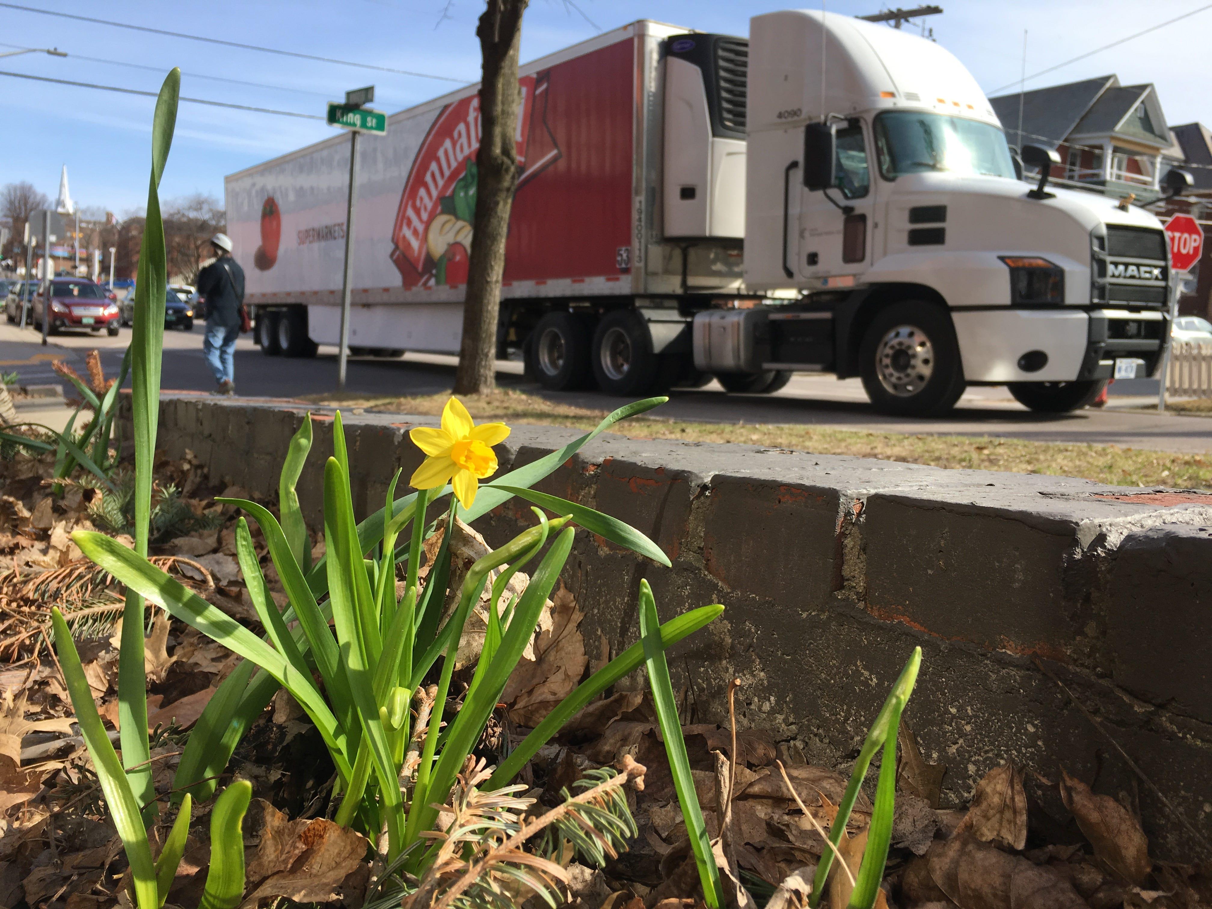 A lone daffodil brightens a sidewalk on South Winooski Avenue and King Street in Burlington on Sunday, April 14, 2019.