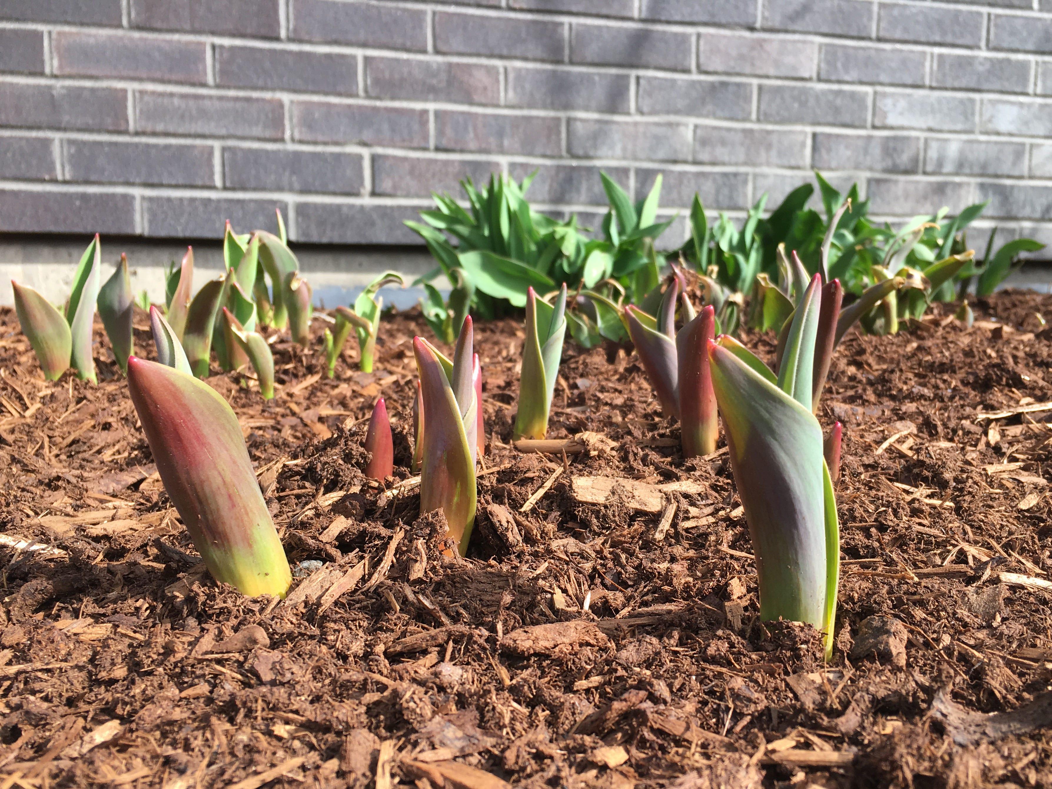 Early-stage tulips extend skyward on King Street in Burlington on Sunday, April 14, 2019.