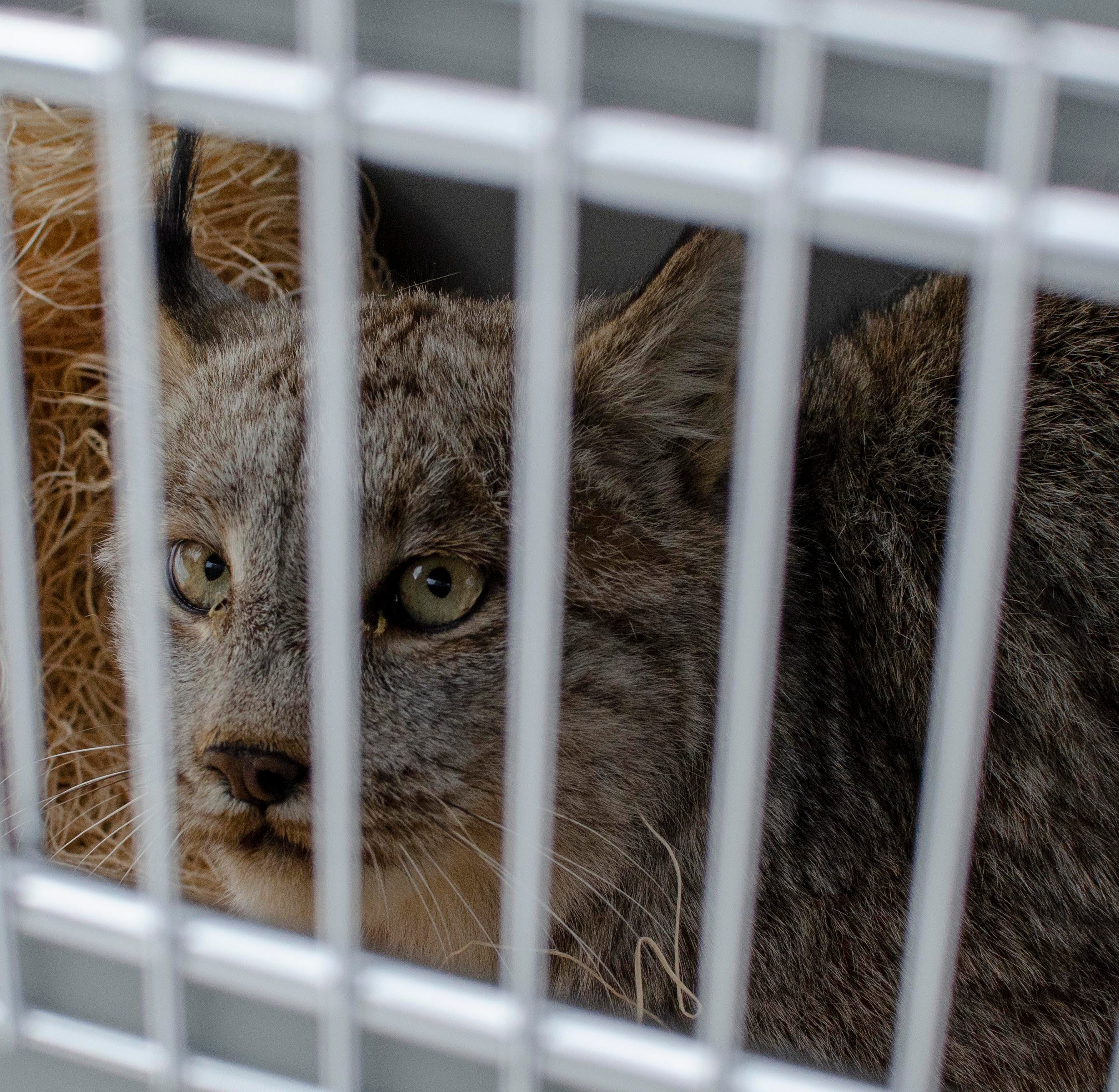 Rare lynx caught in Michigan released in U.P.