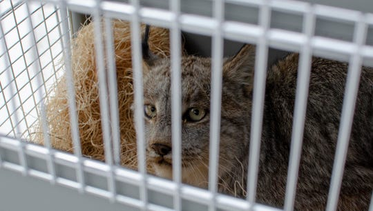 A female Canada lynx captured in Sanilac County peers out of a wildlife carrier before being released Friday.