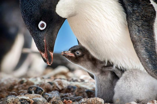 """A scene from """"Penguins."""""""