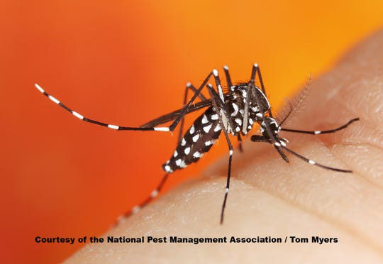 This picture from the National Pest Management Association is of an Asian Tiger Mosquito.