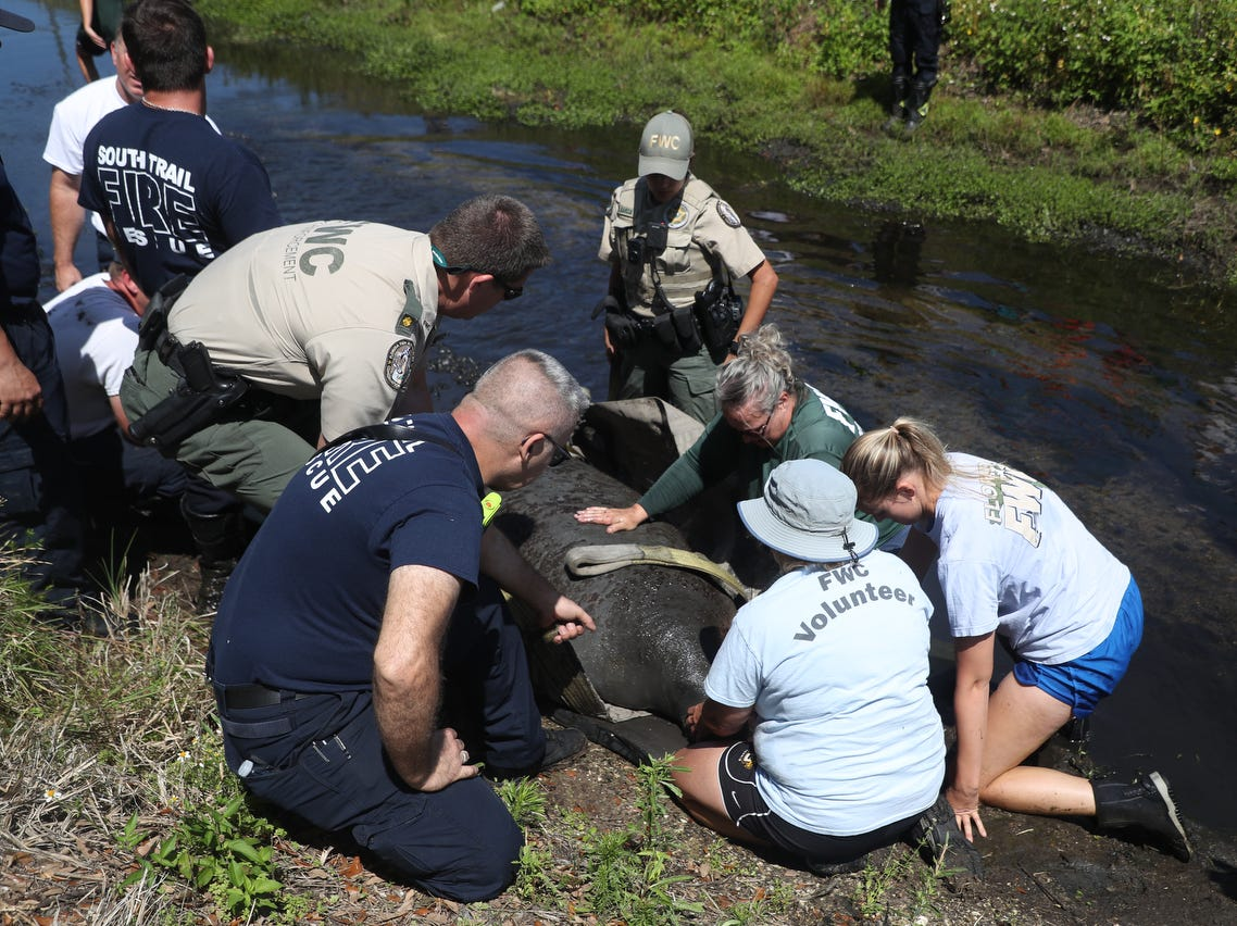 A manatee was rescued from a drainage canal off of Brantley Road and Summerlin Road by members of the Florida Fish and Wildlife Conservation Commission and other emergency officials on Monday April, 15, 2019. Specifics on how the manatee got their are unknown.