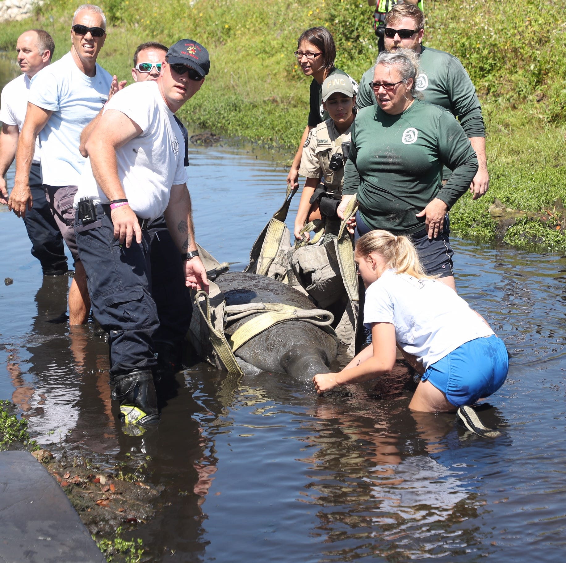 Biologists, officers, firefighters team up to remove manatee stuck in south Fort Myers drainage ditch