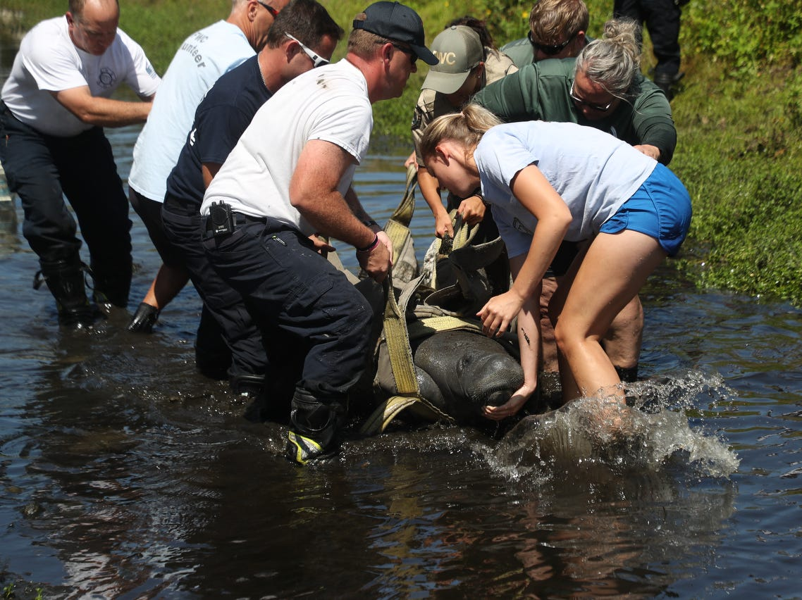 A manatee was rescued from a drainage canal off of Brantley Road and Summerlin Road by members of the Florida Fish and Wildlife Conservation Commission and other emergency officials on Monday April, 15, 2019. Specifics on how the manatee got their are unknown. It was transferred to Sea World for rehabilitation.