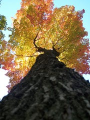 The oldest tree in Wisconsin looks nothing like this towering maple tree found in Ledge County Park at the top of the Niagara Escarpment.