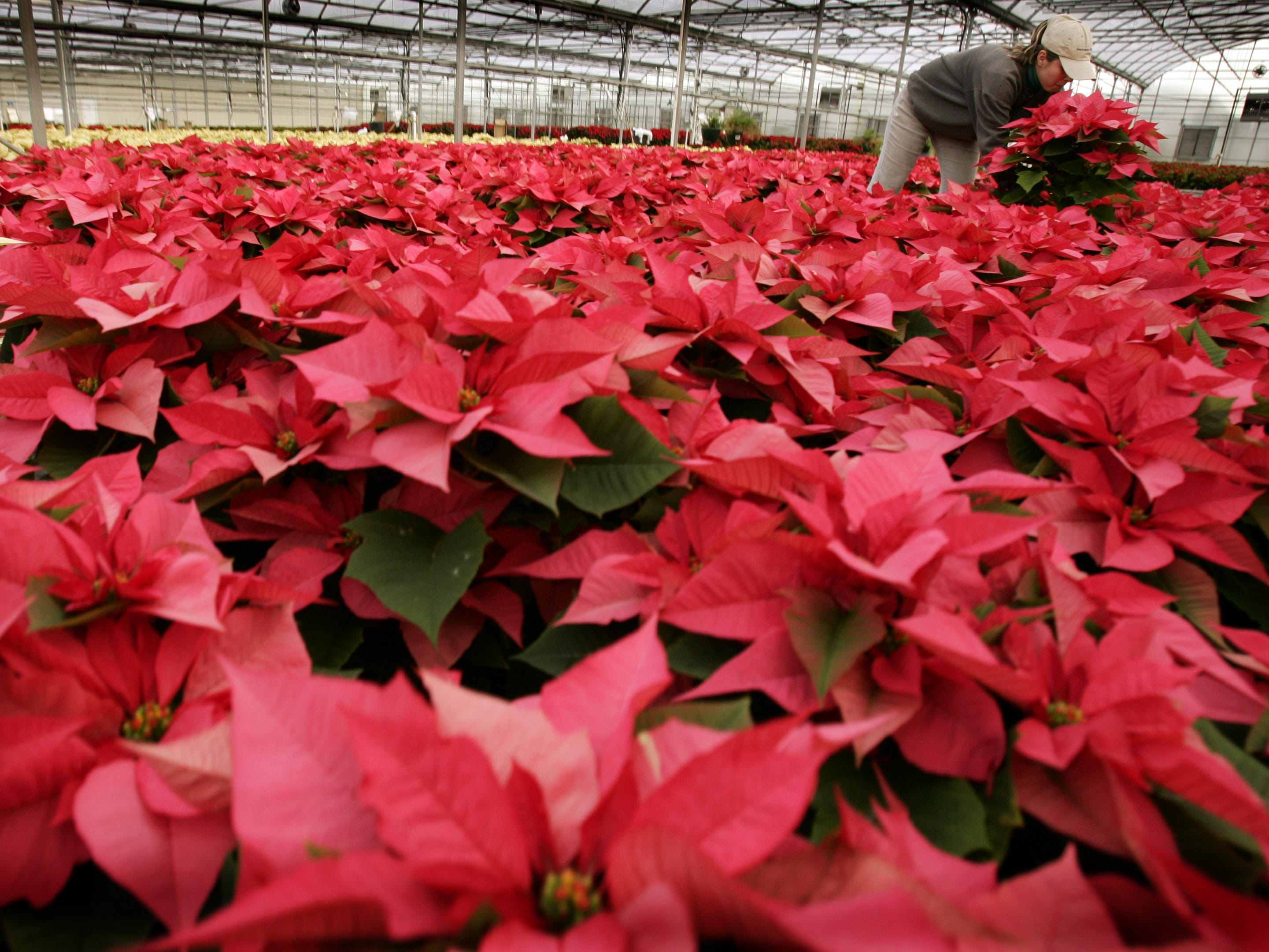 "Tant's Plants employee Marline Gutierrez works on ""Enduring Pink"" poinsettias that will be sold and delivered to area churches and schools in 2007."