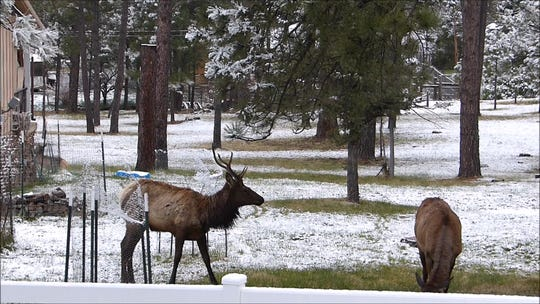 A bull elk and one of his females sampled trees and grass in a yard off Hull Road in Ruidoso.