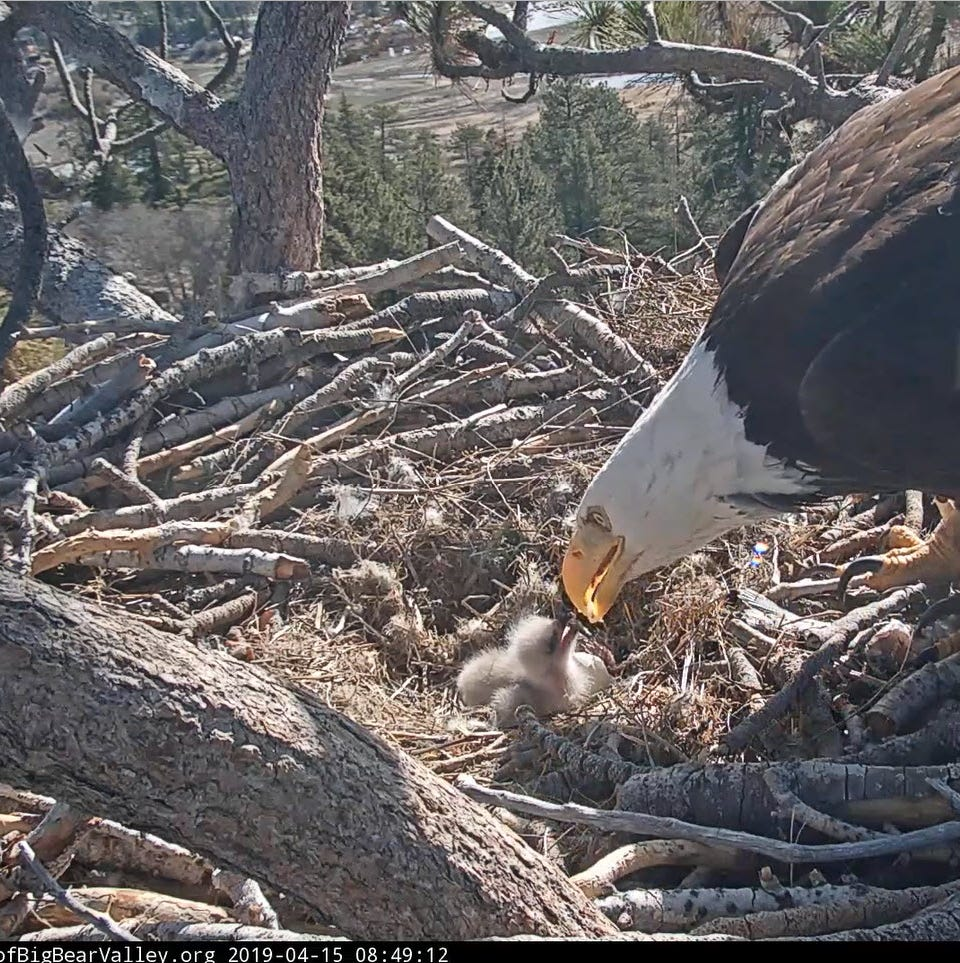 Big Bear bald eagles officially parents after both eggs hatch. Guess who will name eaglets