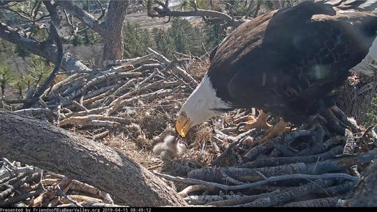 Footage shows a bald eagle tending to a hatching that was born Sunday near Big Bear Lake. It's one of two born this week.
